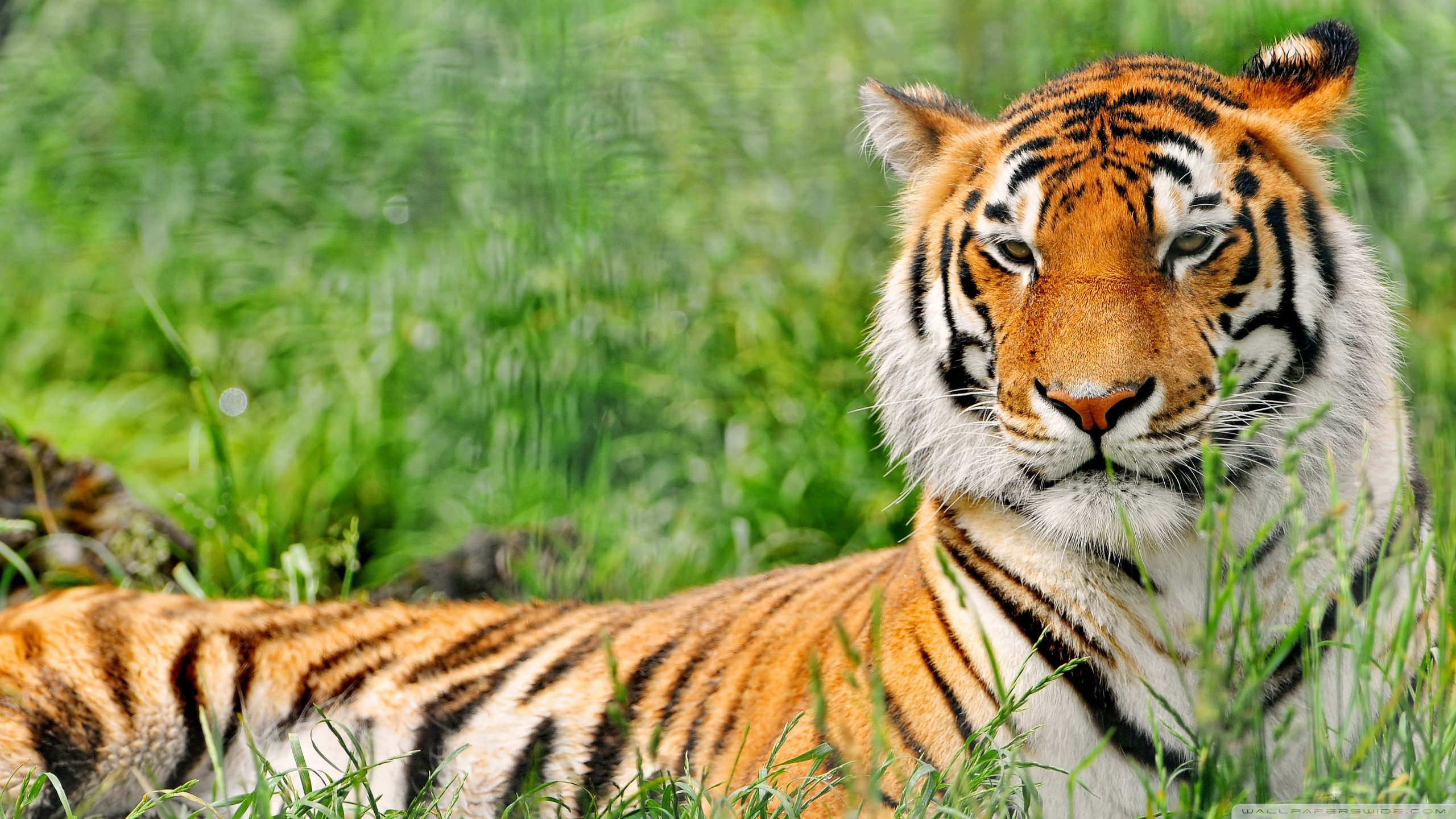 Awesome Tiger free wallpaper ID:116261 for hd 2560x1440 desktop