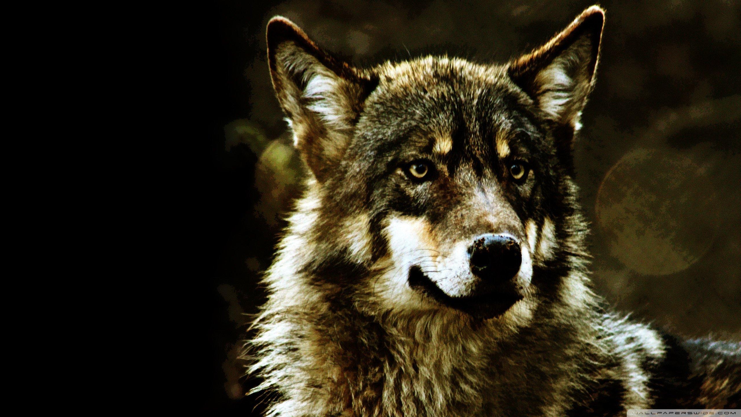 Wolf wallpaper ID:117902 hd 2560x1440