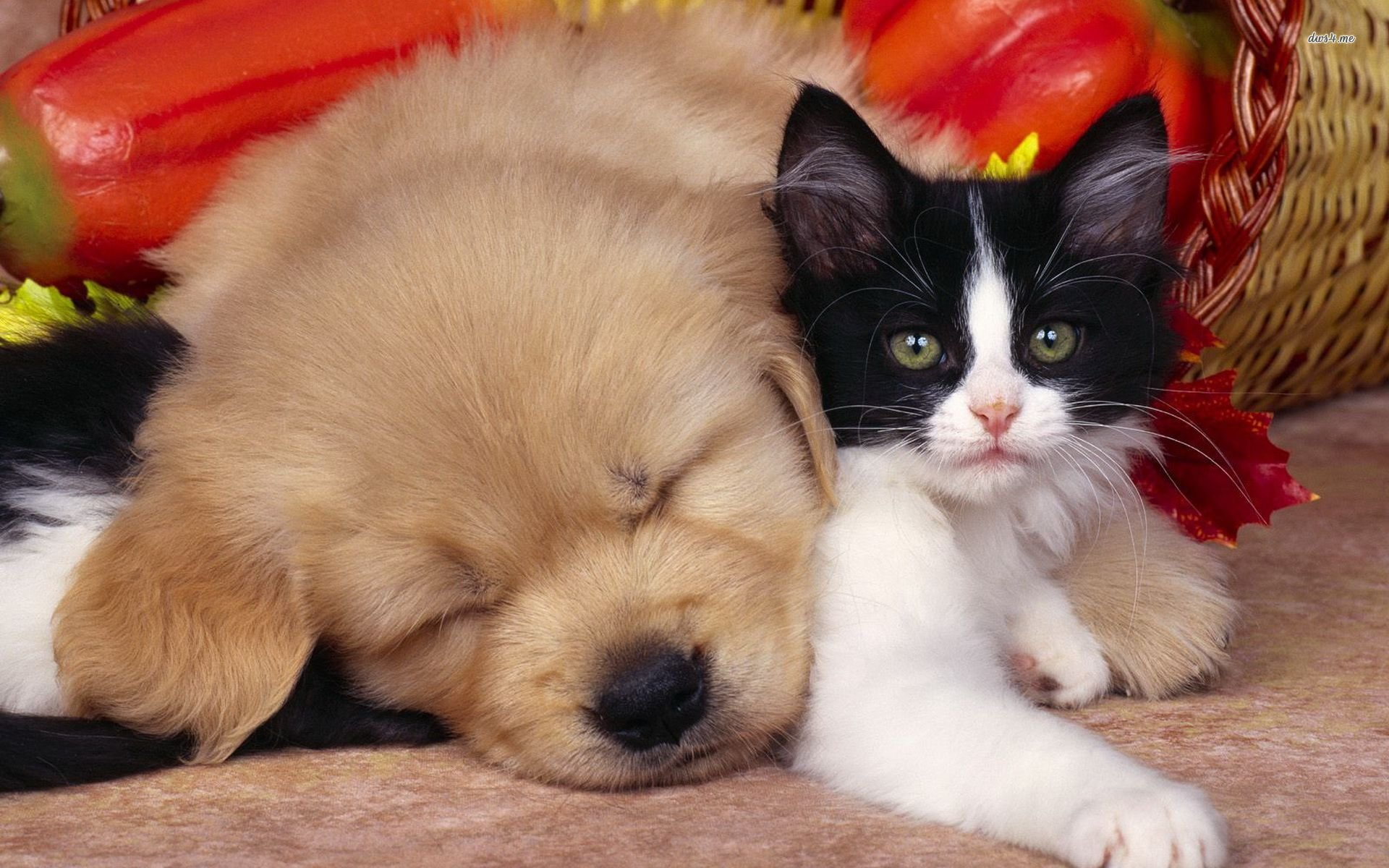Best Cat and Dog wallpaper ID:125328 for High Resolution hd 1920x1200 PC