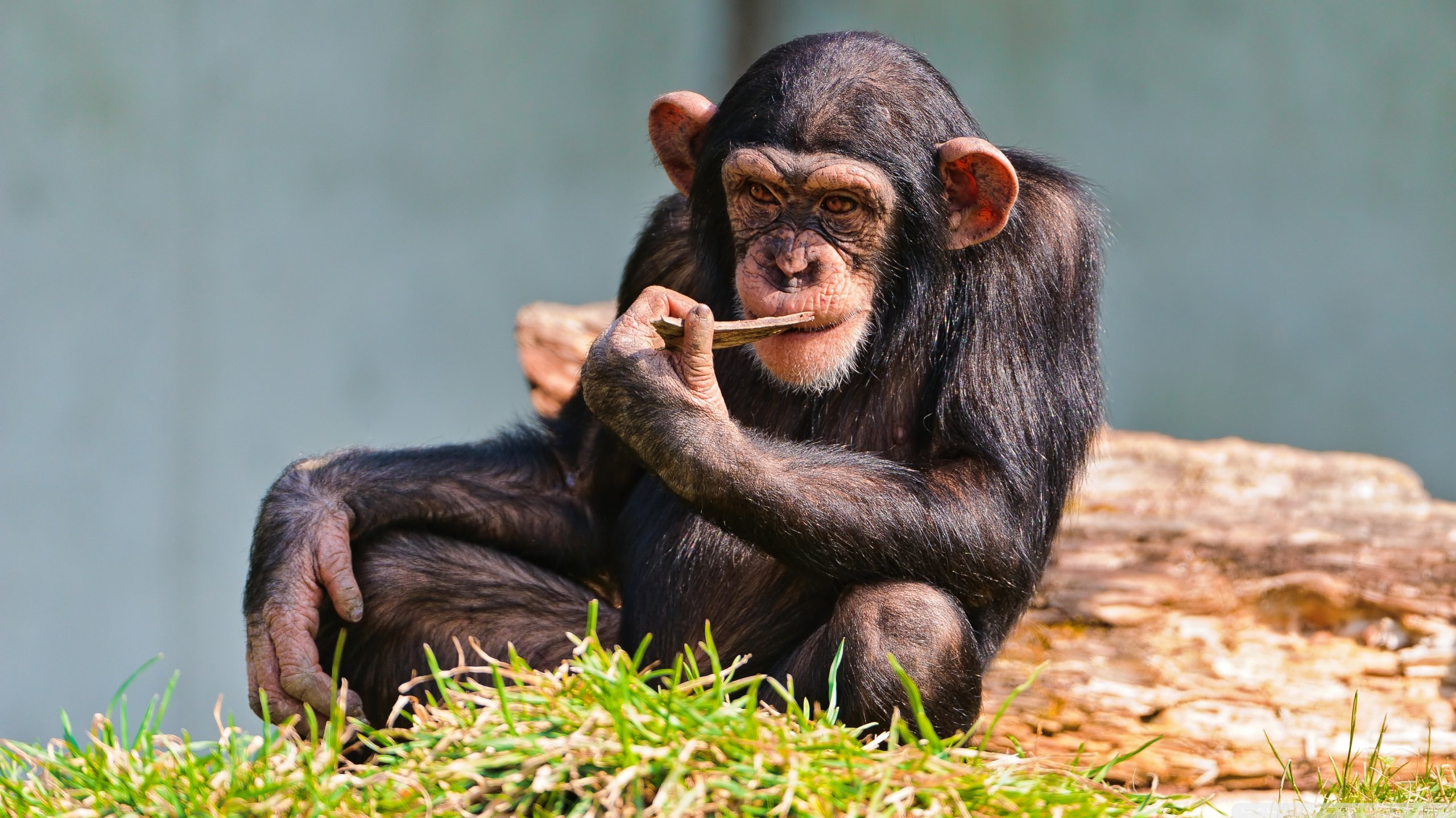 Best Chimpanzee background ID:24608 for High Resolution hd 2560x1440 PC