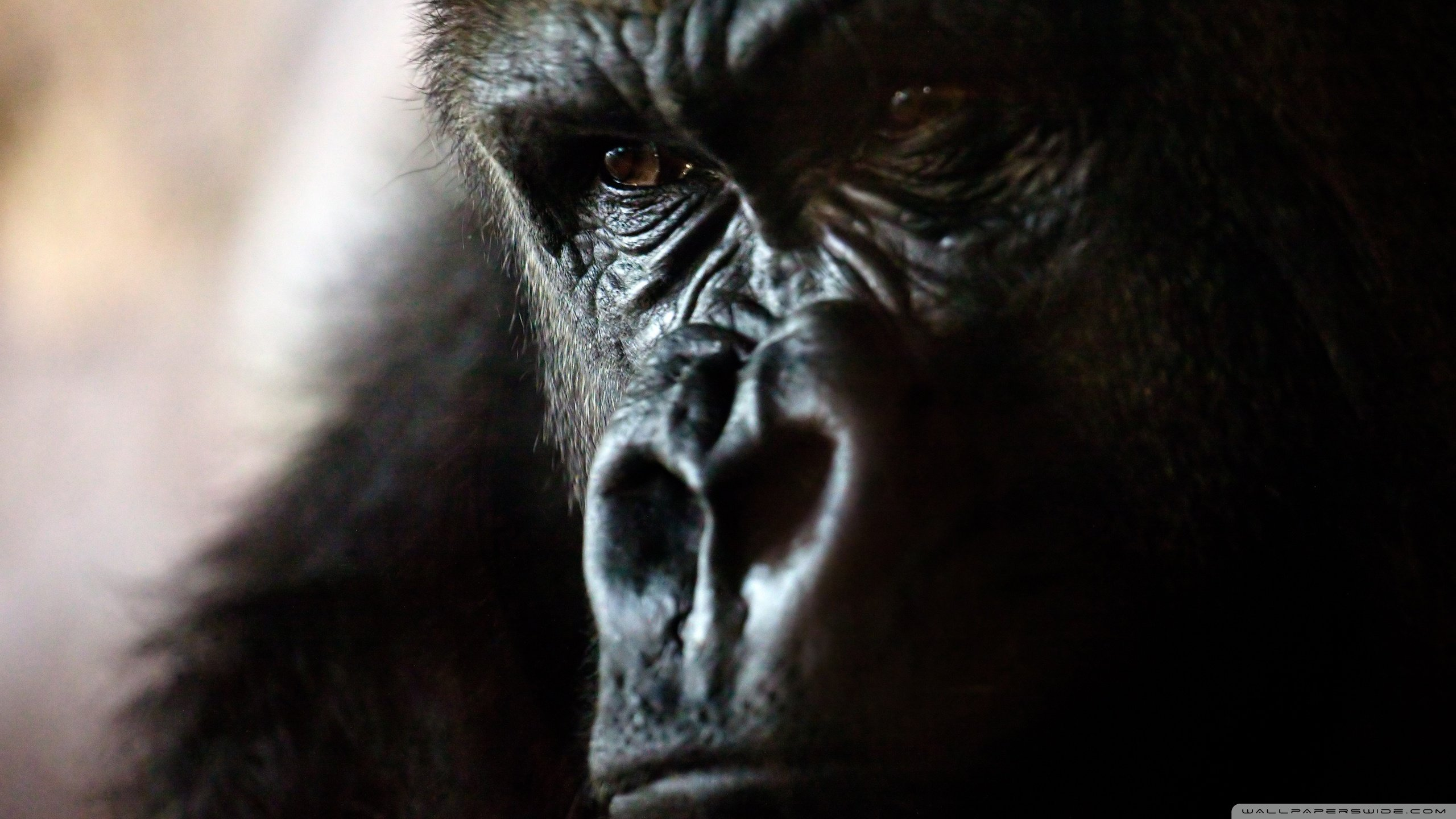 Awesome Gorilla free background ID:145546 for hd 2560x1440 desktop