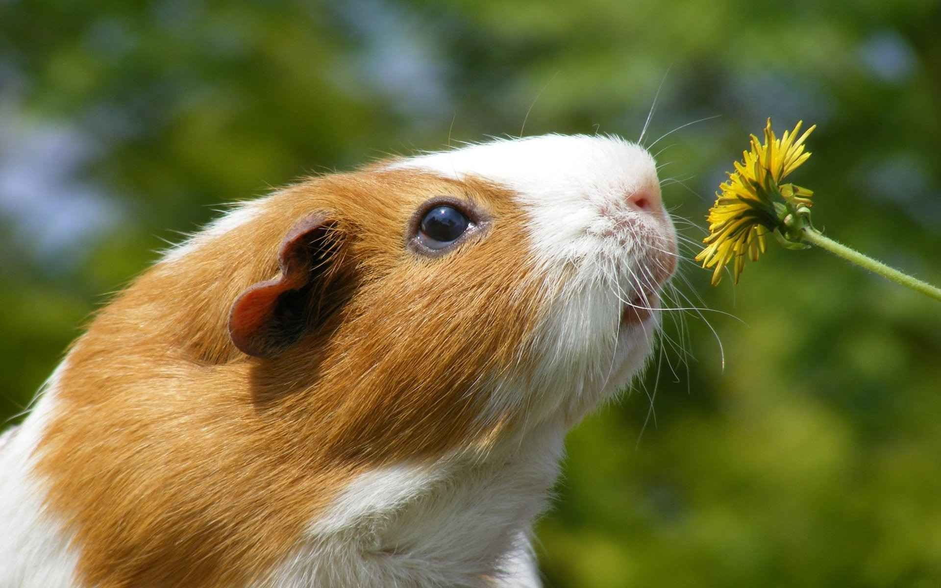 Free download Guinea Pig background ID:270958 hd 1920x1200 for PC