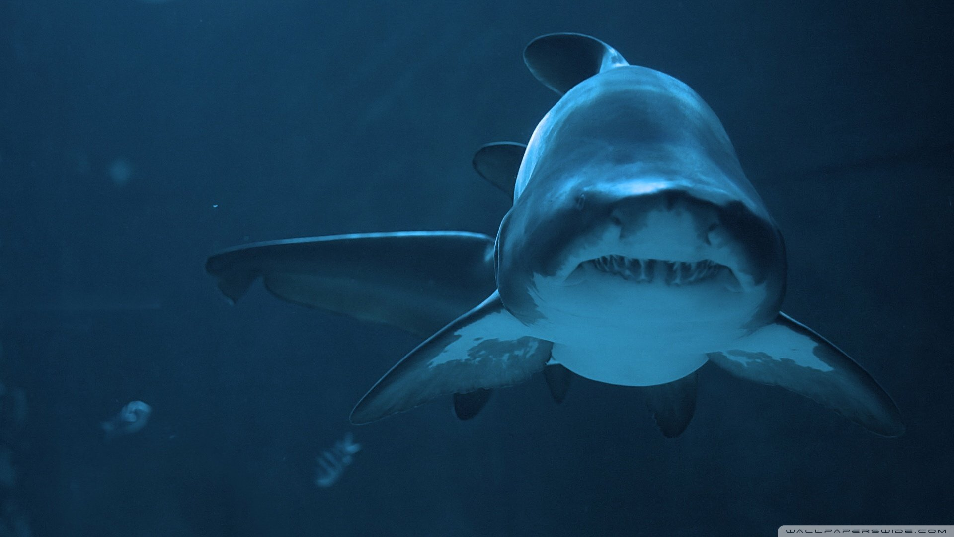Awesome Shark free background ID:180536 for full hd 1920x1080 PC