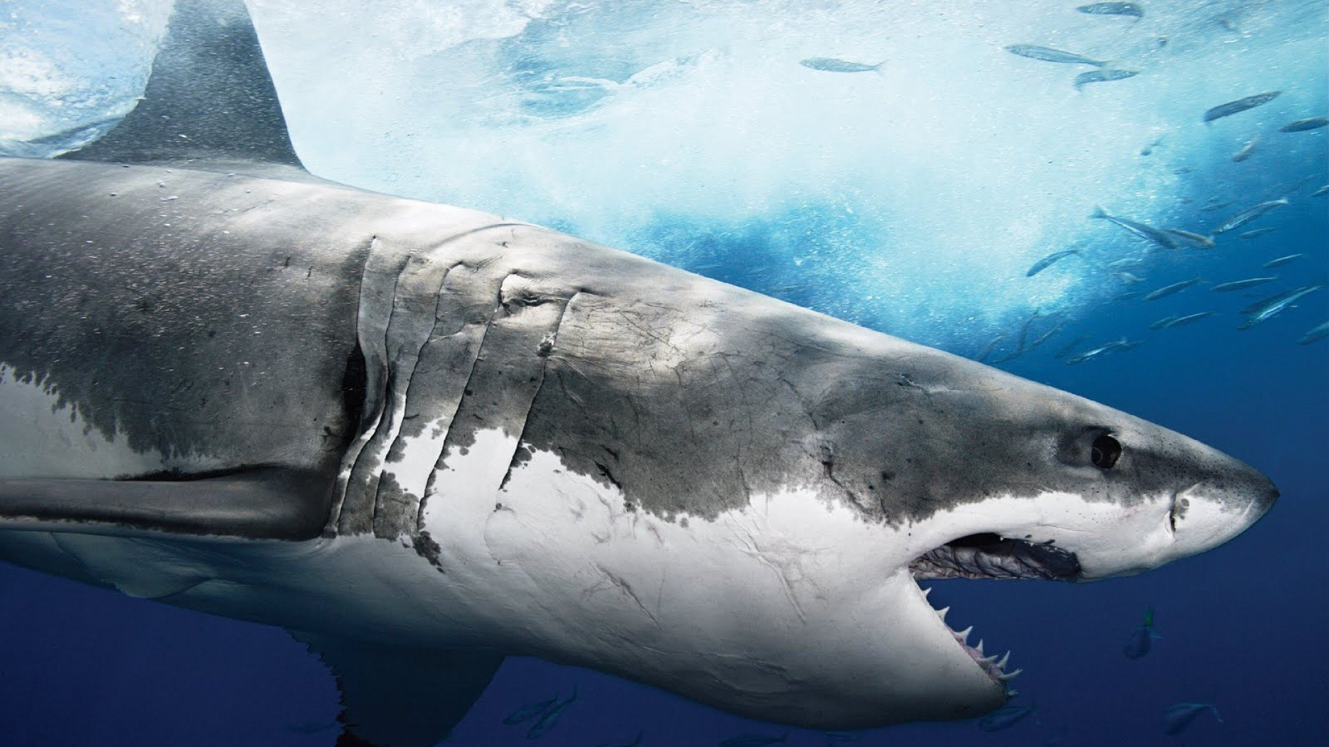 Best Shark wallpaper ID:180575 for High Resolution hd 1080p desktop
