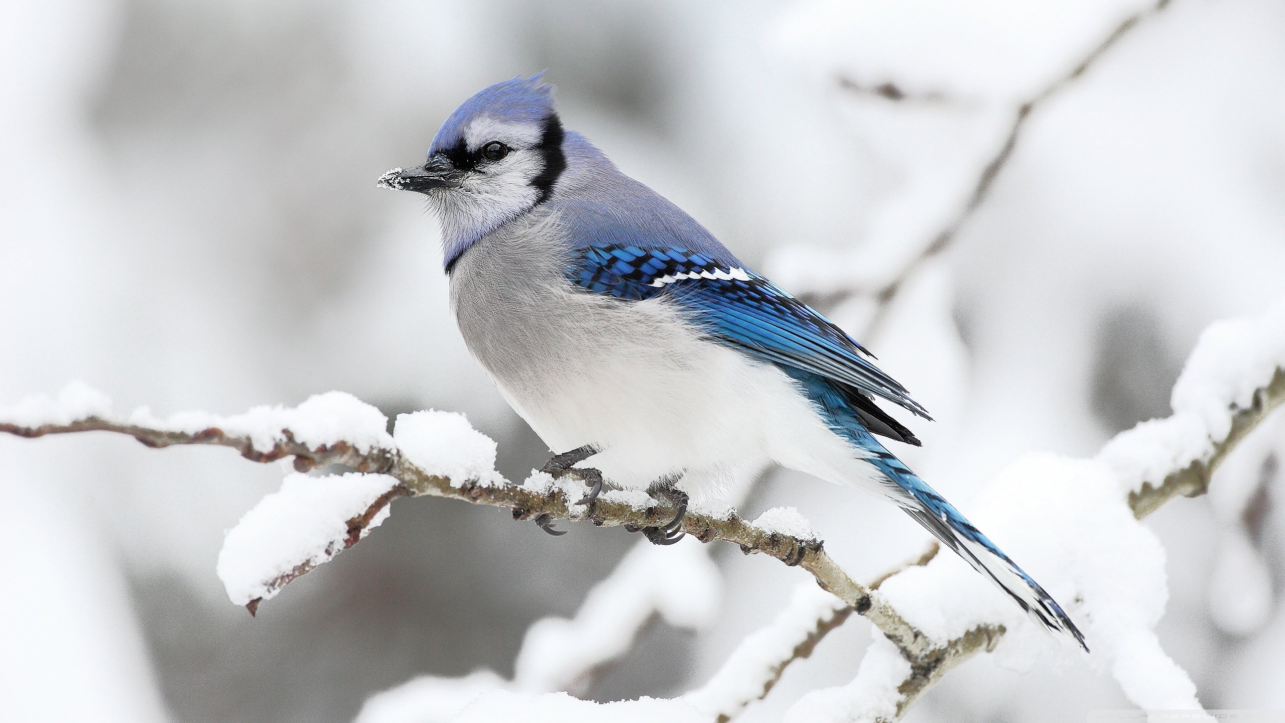 Awesome Blue Jay free background ID:158371 for hd 2560x1440 PC