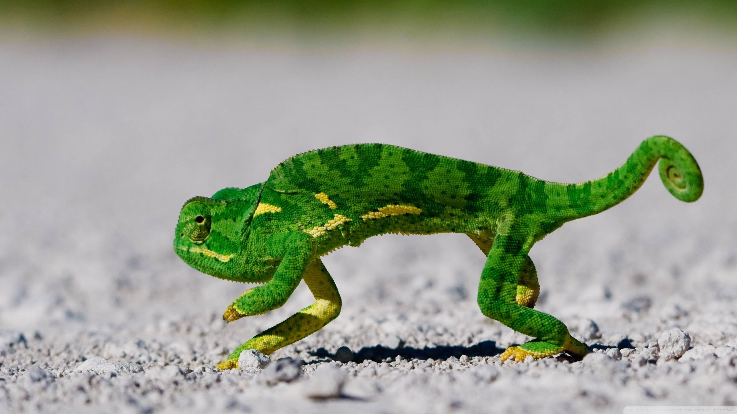 Awesome Chameleon free wallpaper ID:462605 for hd 2560x1440 computer
