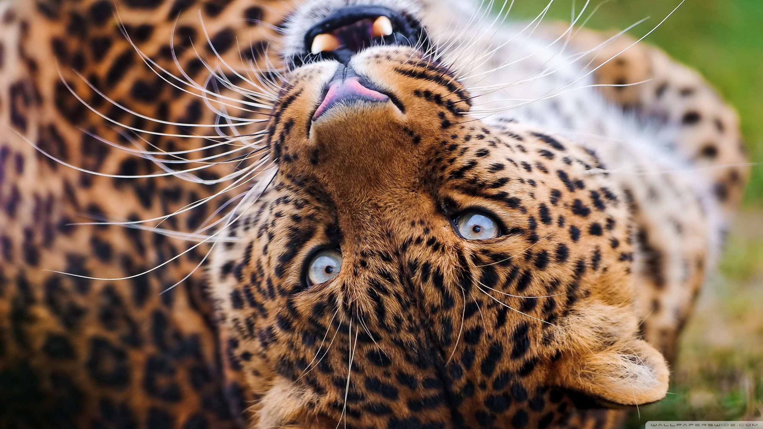 Free download Jaguar background ID:30193 hd 2560x1440 for PC