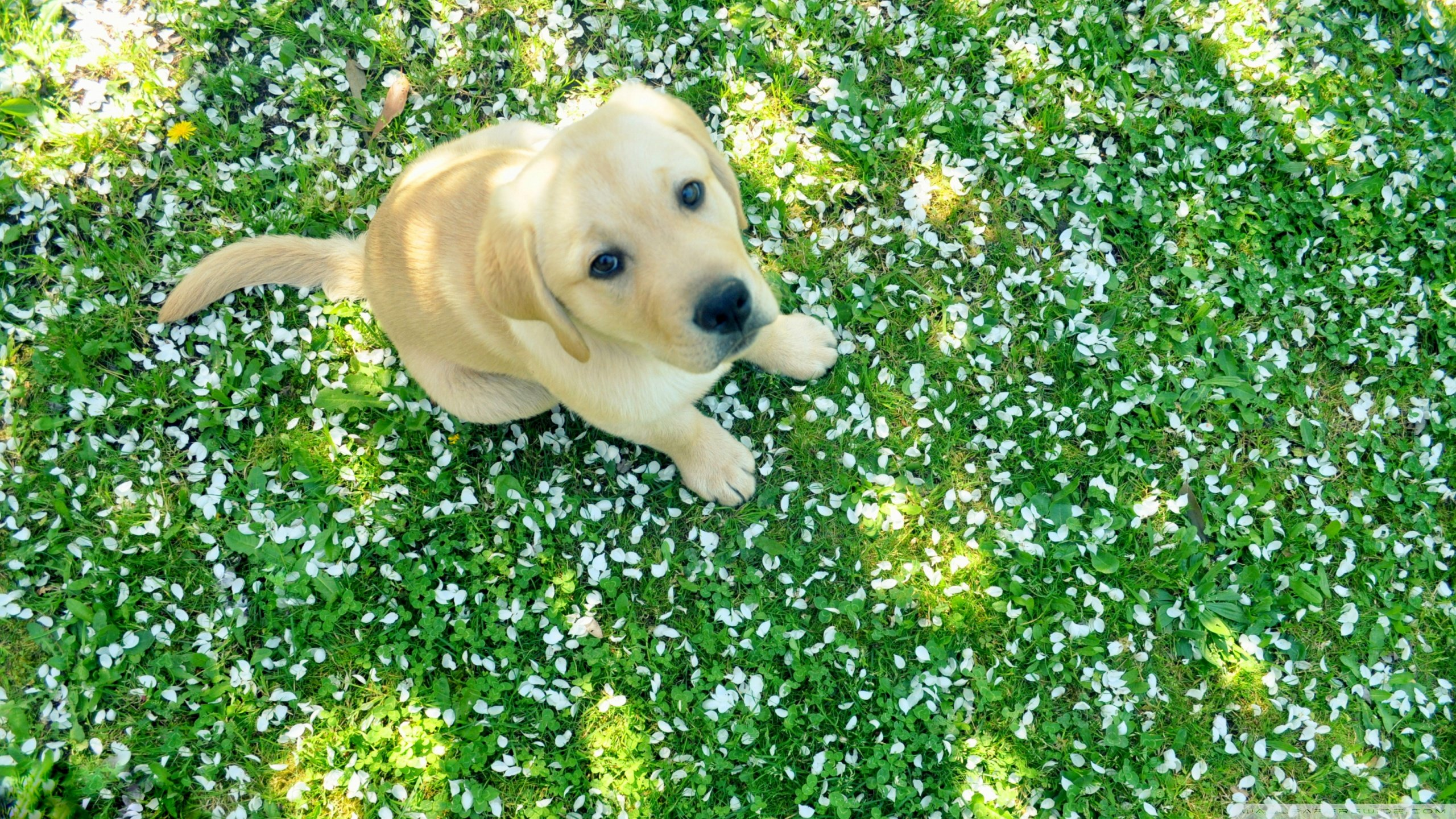 Free Labrador Retriever high quality background ID:47296 for hd 2560x1440 PC