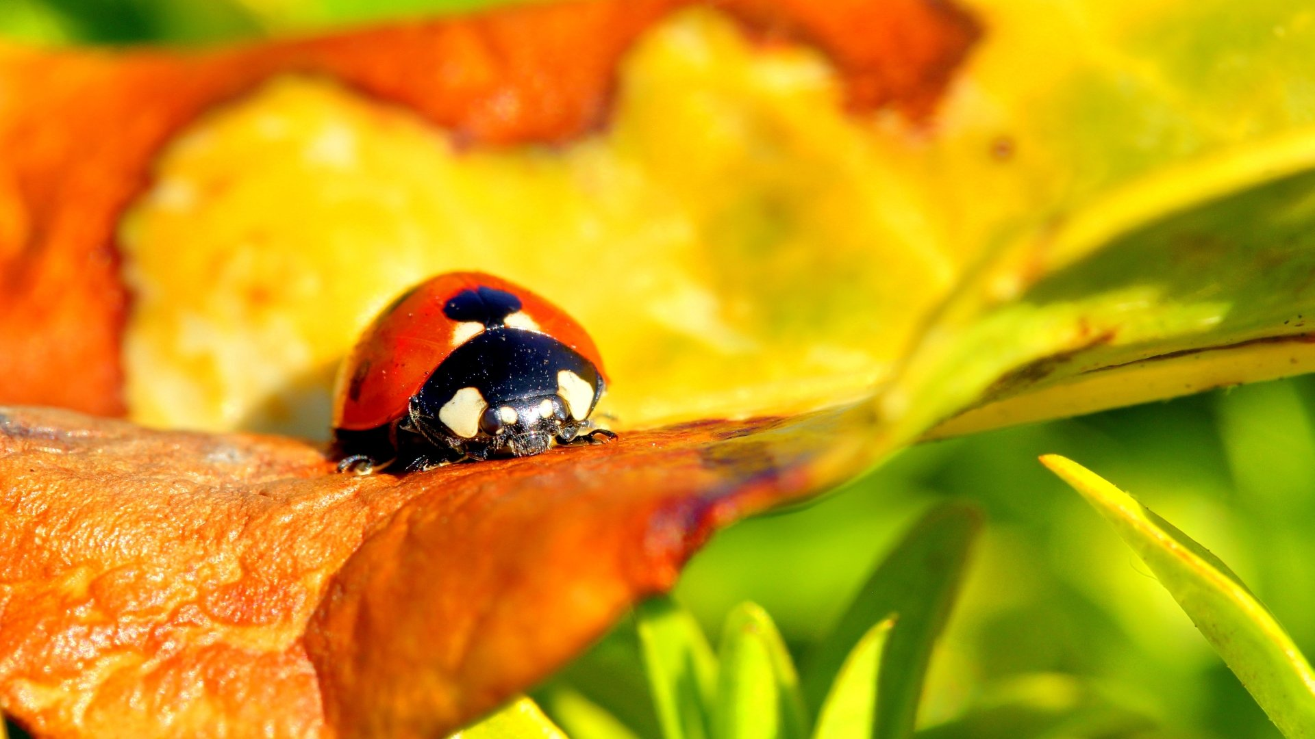 Best Ladybug background ID:270429 for High Resolution full hd 1080p PC