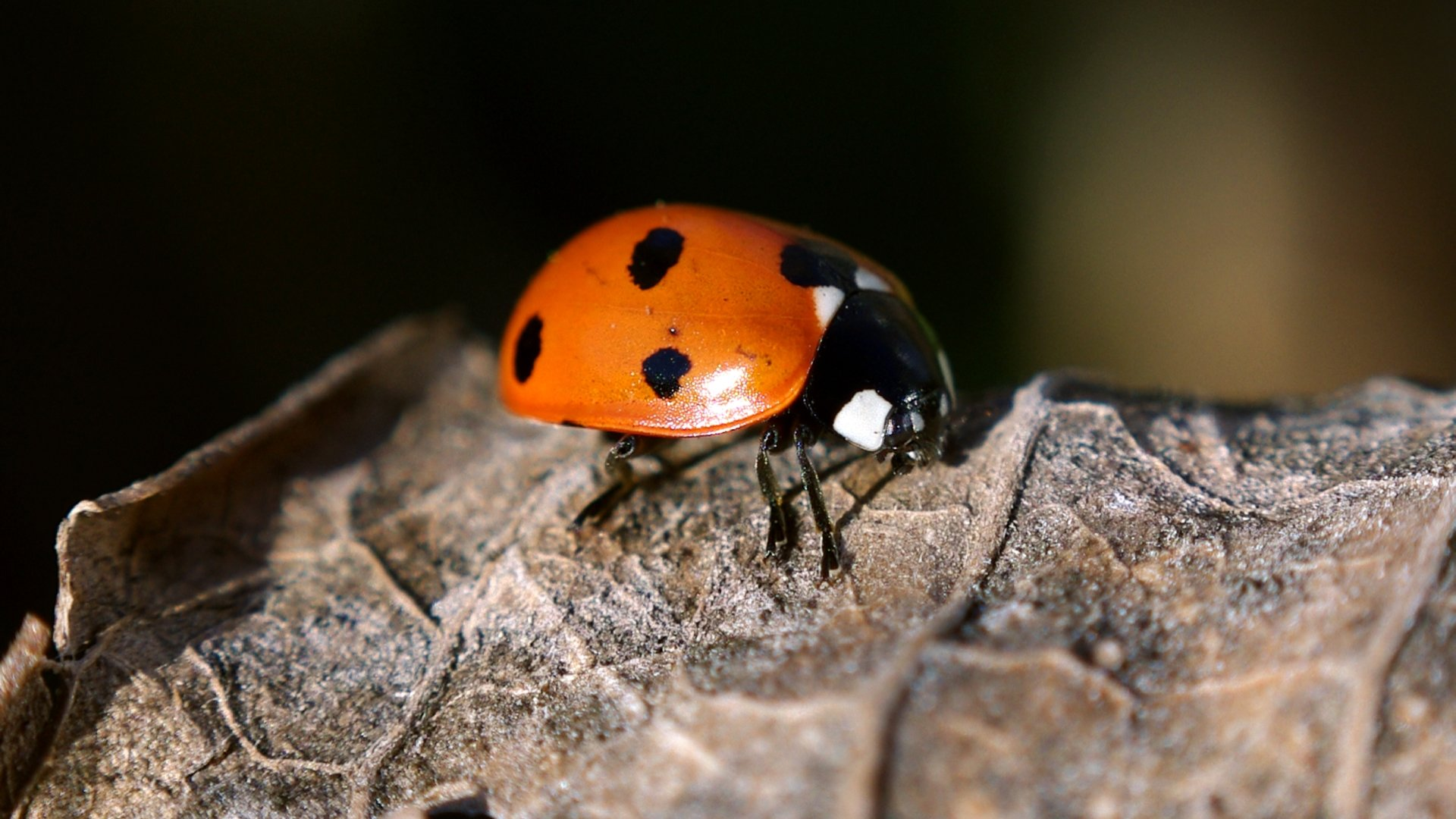 High resolution Ladybug 1080p wallpaper ID:270537 for PC