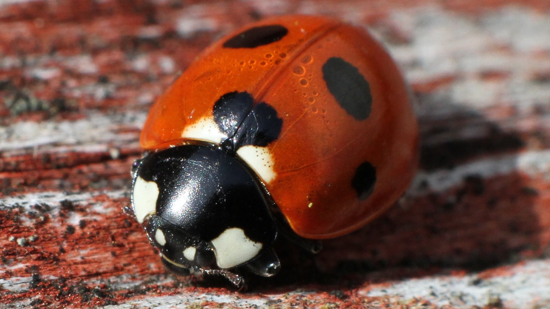 Awesome Ladybug free wallpaper ID:270542 for 1080p PC