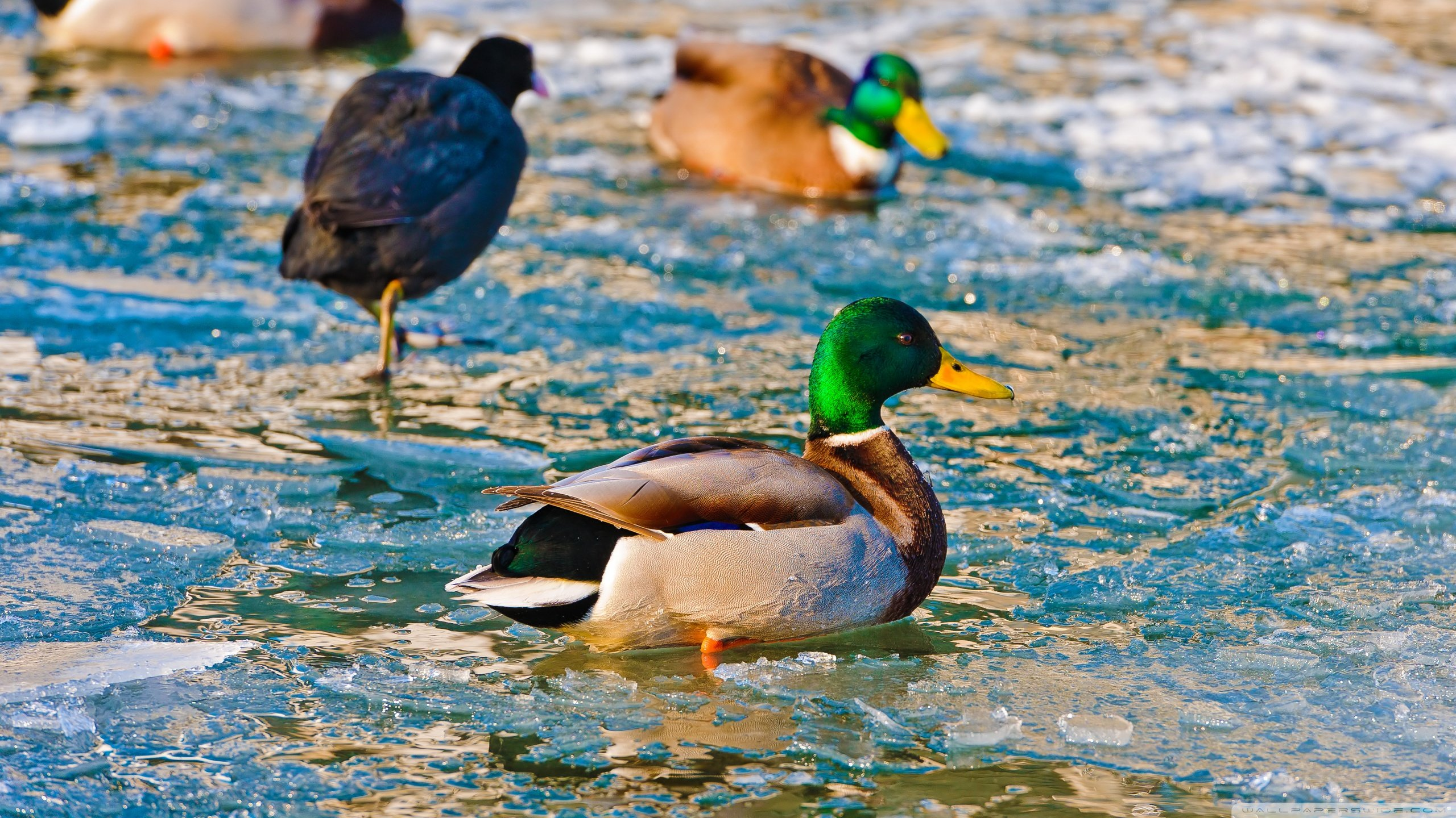 Free Mallard high quality wallpaper ID:358205 for hd 2560x1440 PC
