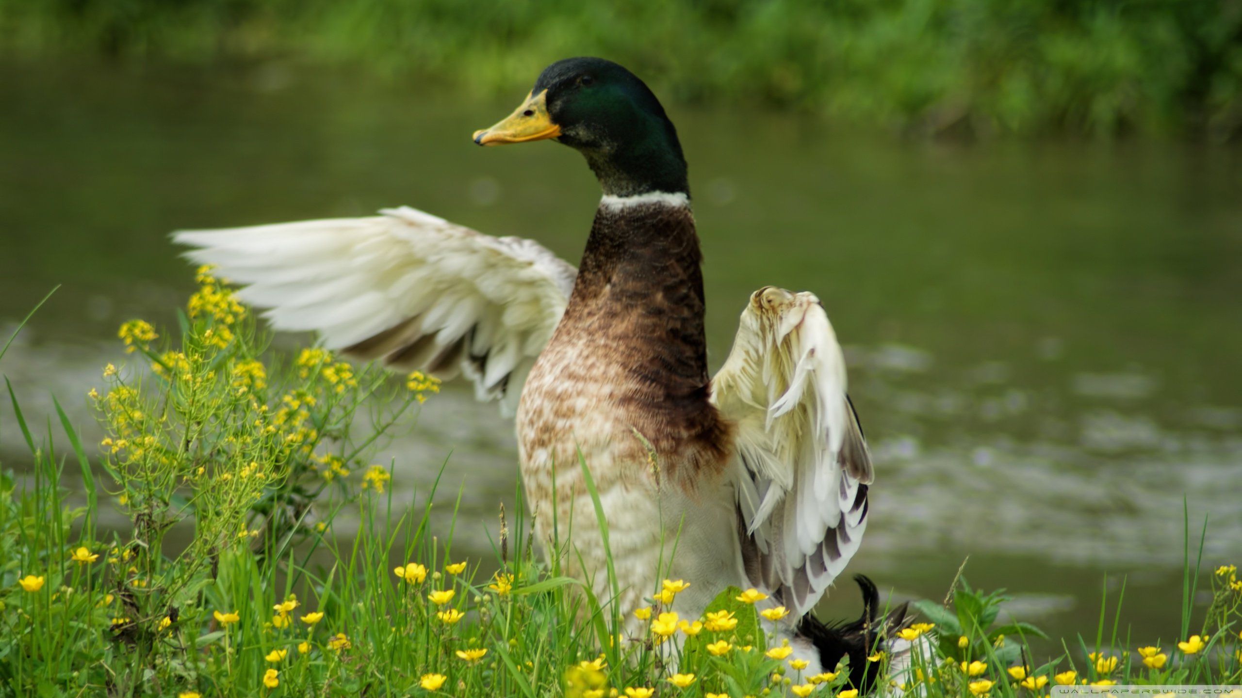 Best Mallard wallpaper ID:358219 for High Resolution hd 2560x1440 PC
