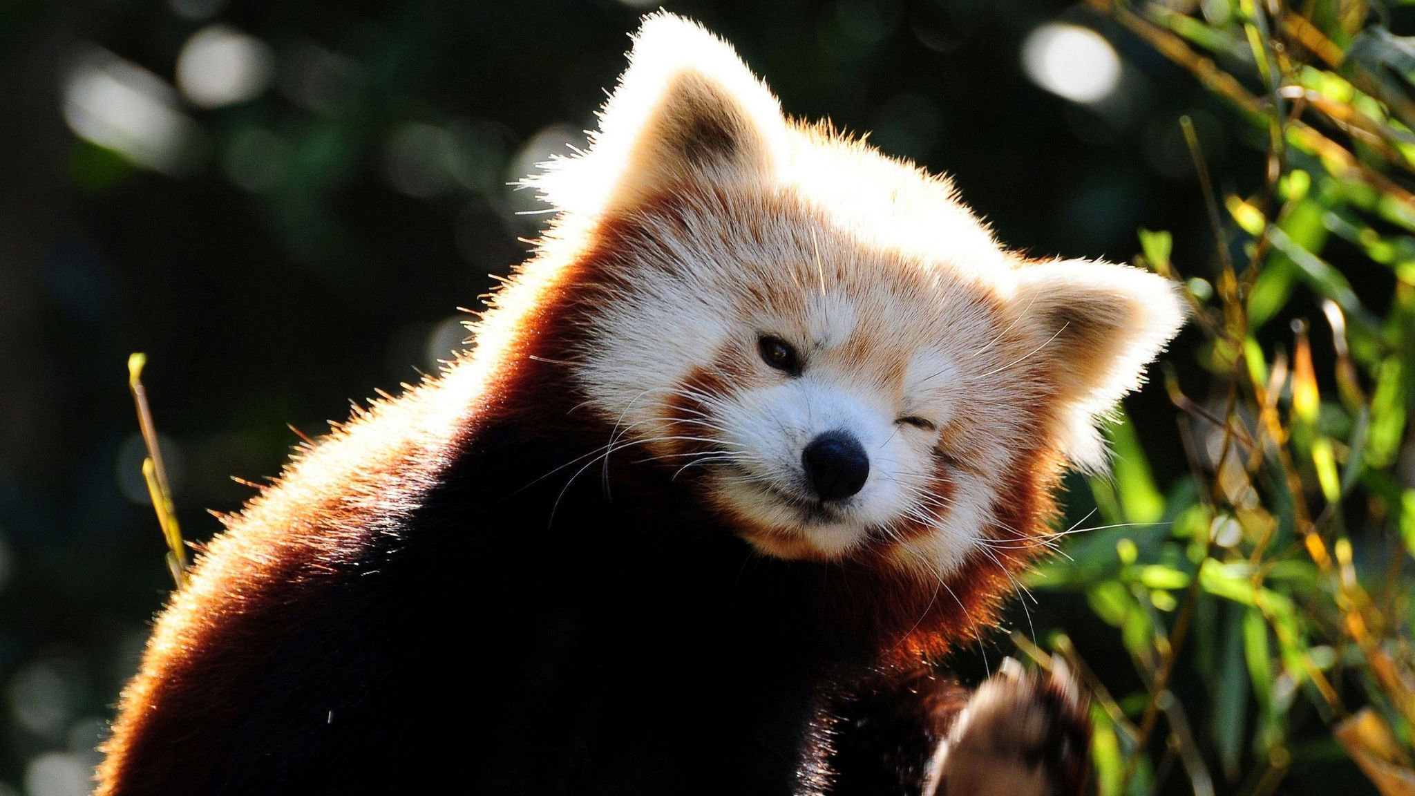 Awesome Red Panda free wallpaper ID:63991 for hd 2560x1440 PC