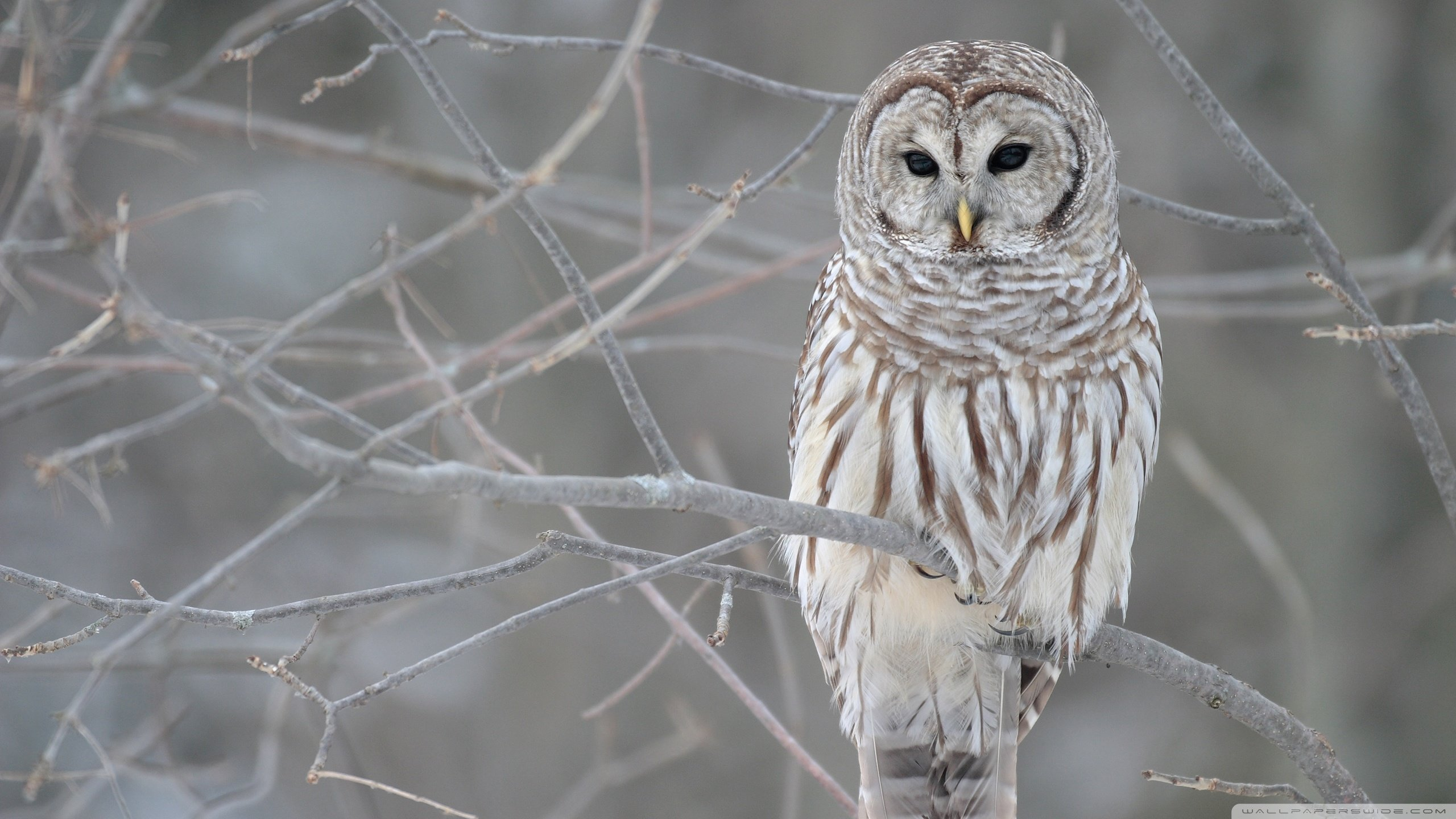 High resolution Barred Owl hd 2560x1440 wallpaper ID:91343 for PC