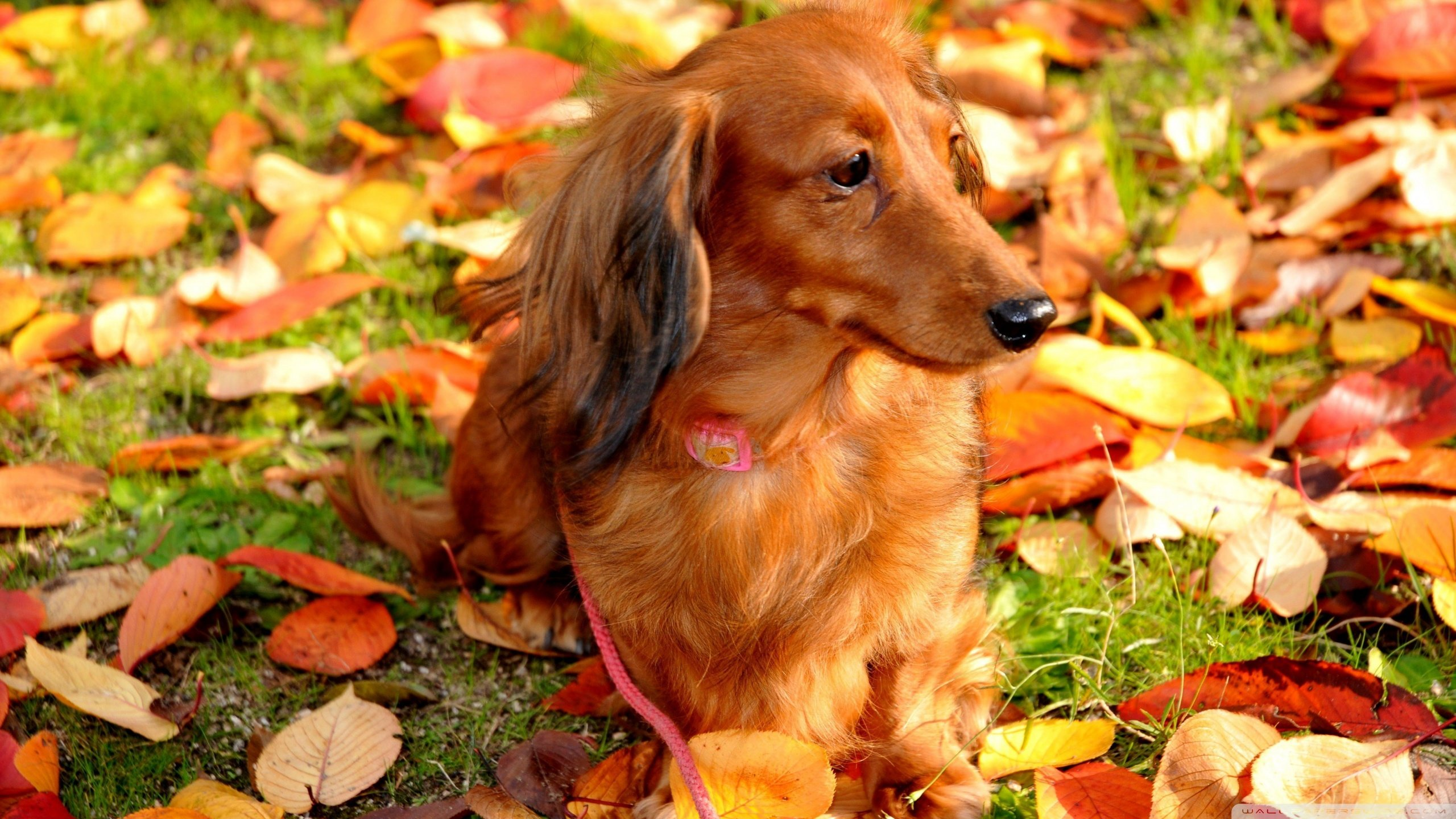 High resolution Dachshund hd 2560x1440 wallpaper ID:310479 for desktop