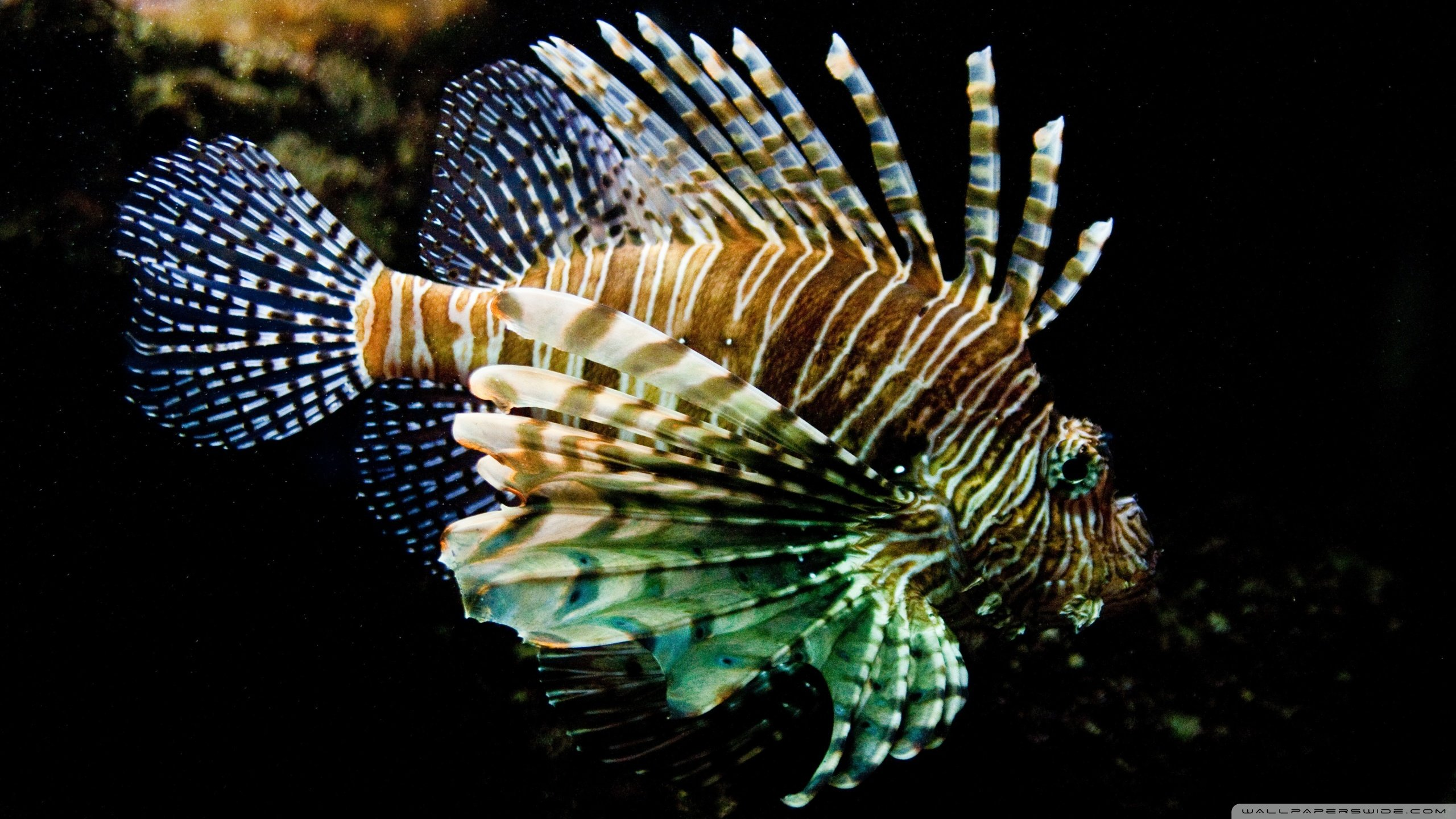 Free Lionfish high quality background ID:438233 for hd 2560x1440 PC
