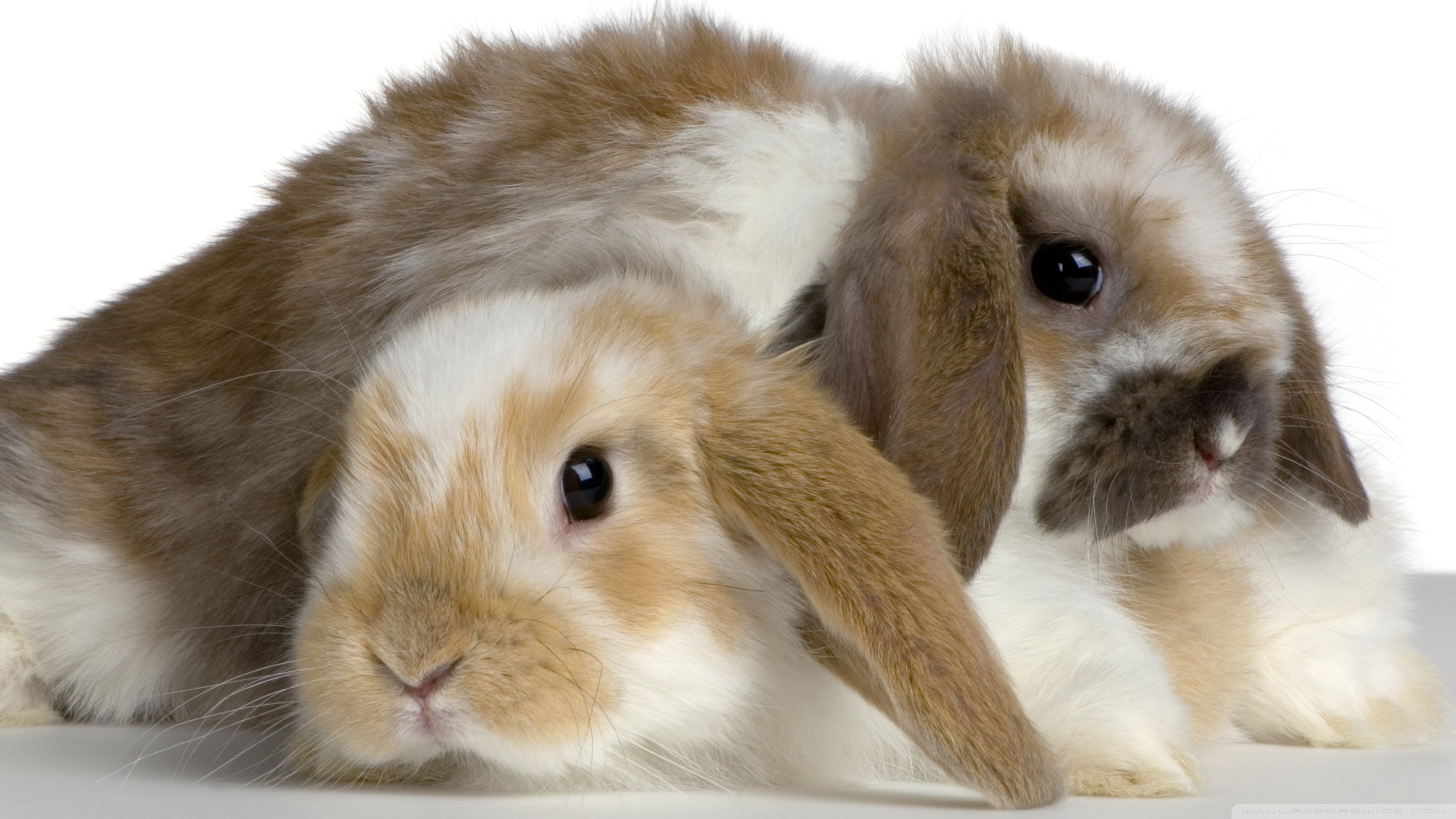 Download hd 2560x1440 Rabbit & Bunny desktop background ID:249094 for free