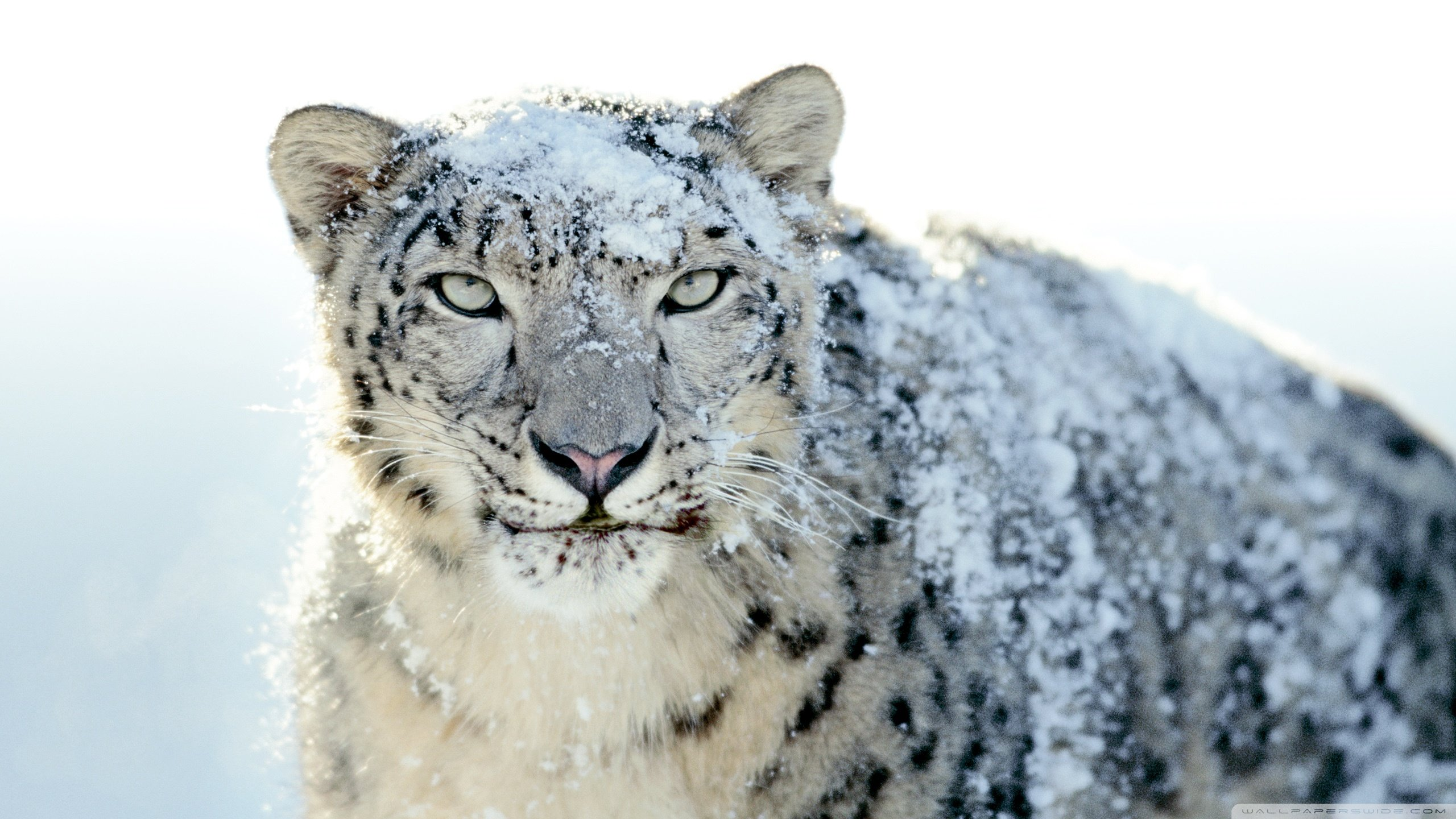 Best Snow Leopard background ID:34358 for High Resolution hd 2560x1440 PC