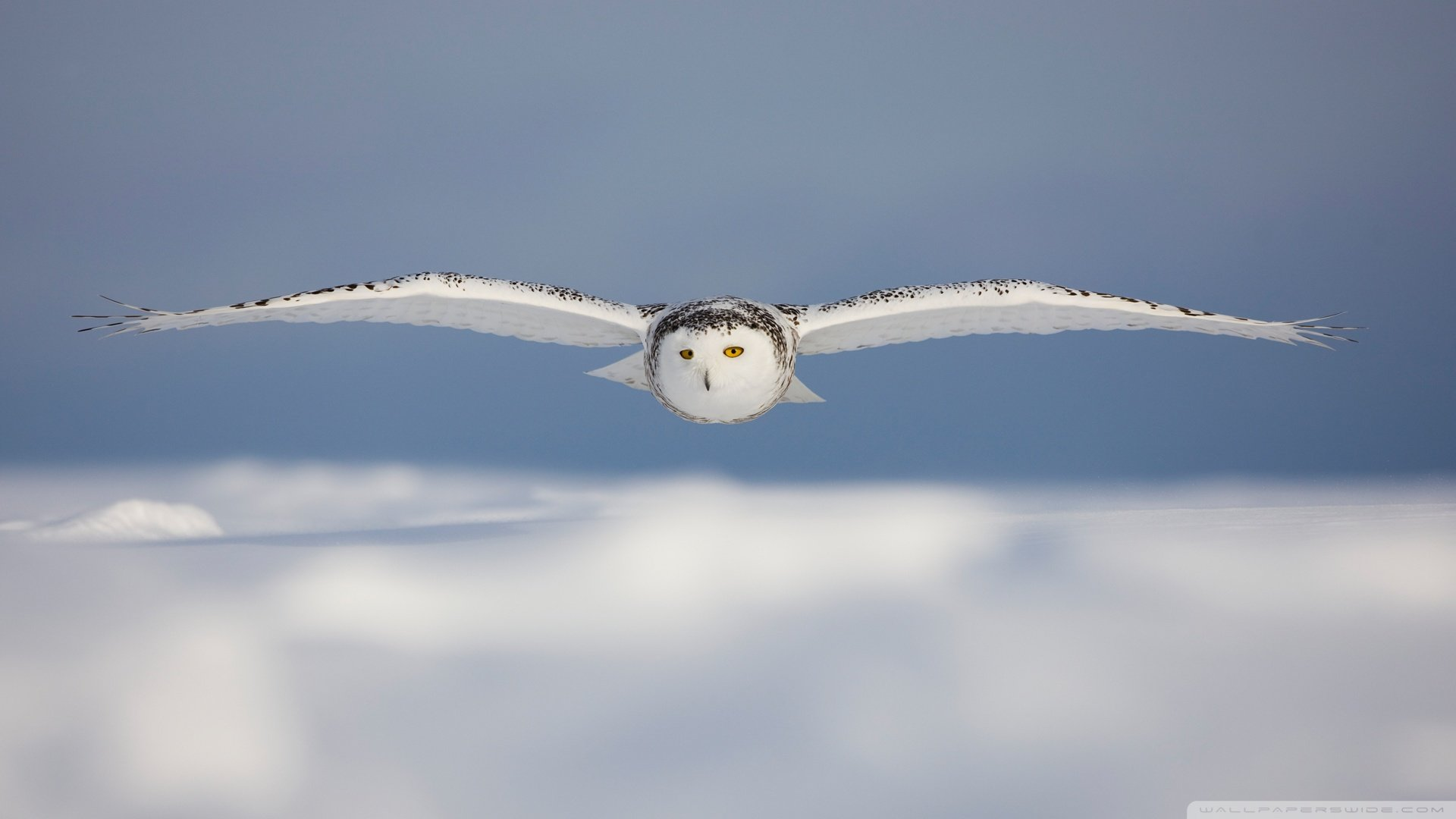 Best Snowy Owl wallpaper ID:26781 for High Resolution full hd 1920x1080 desktop