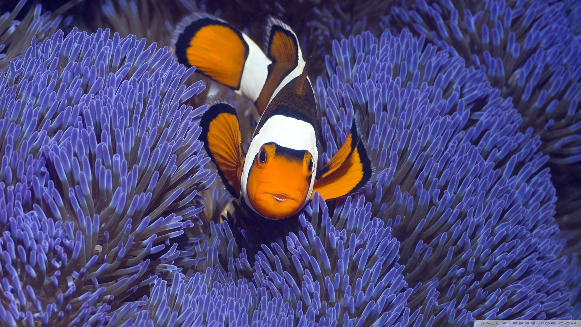 Download hd 1920x1080 Clownfish computer wallpaper ID:53248 for free