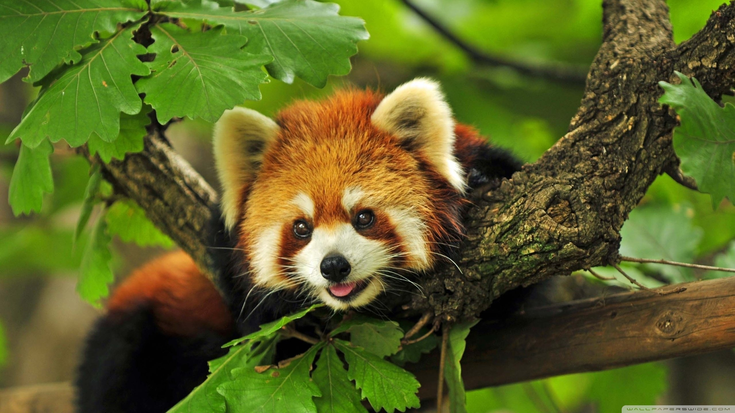 Free download Red Panda background ID:63960 hd 2560x1440 for desktop