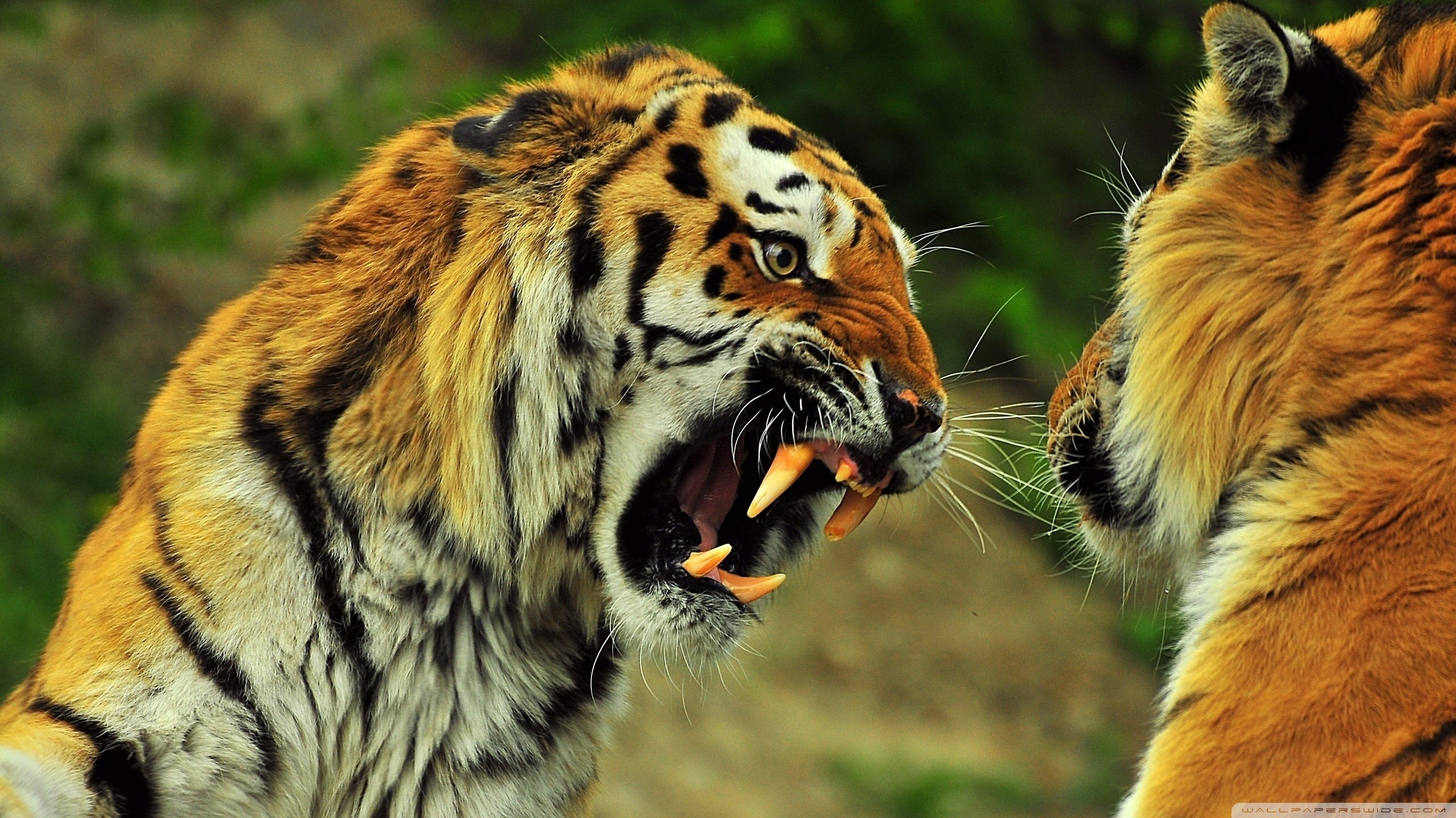 Best Tiger background ID:116535 for High Resolution hd 2560x1440 PC