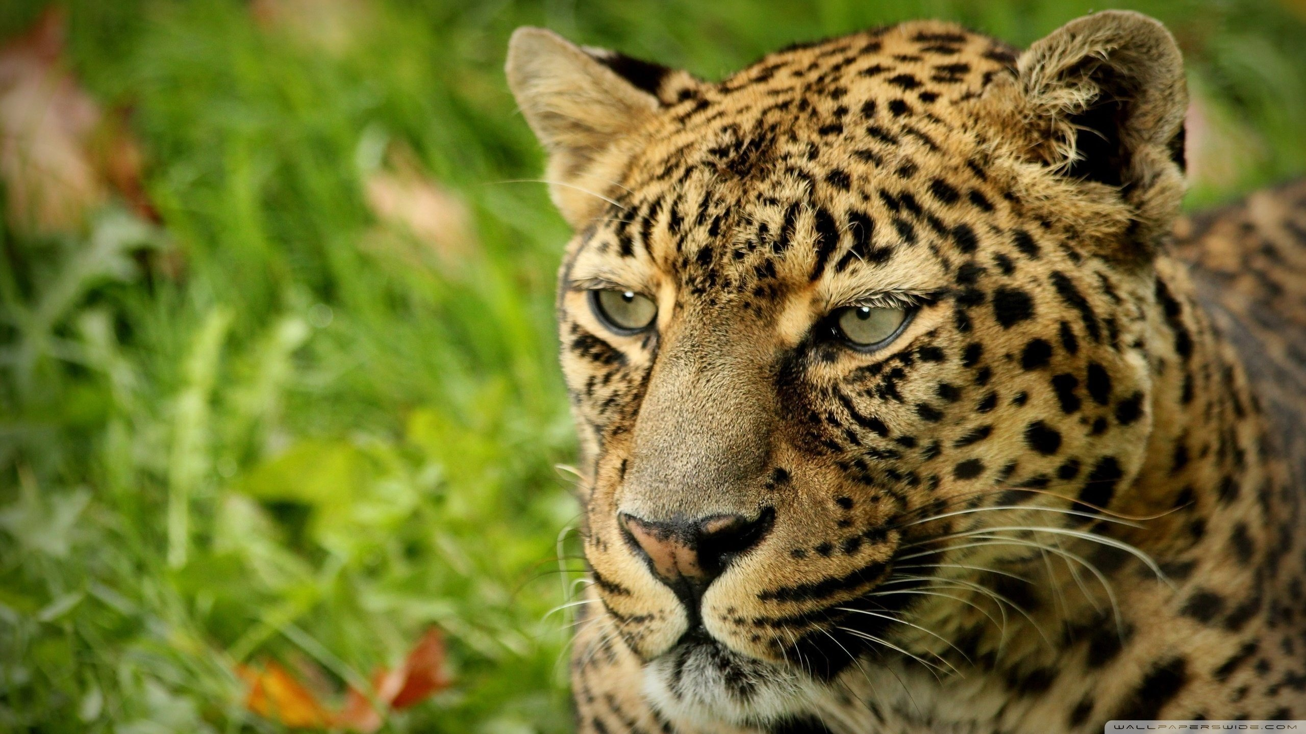 Download hd 2560x1440 Leopard desktop background ID:448236 for free