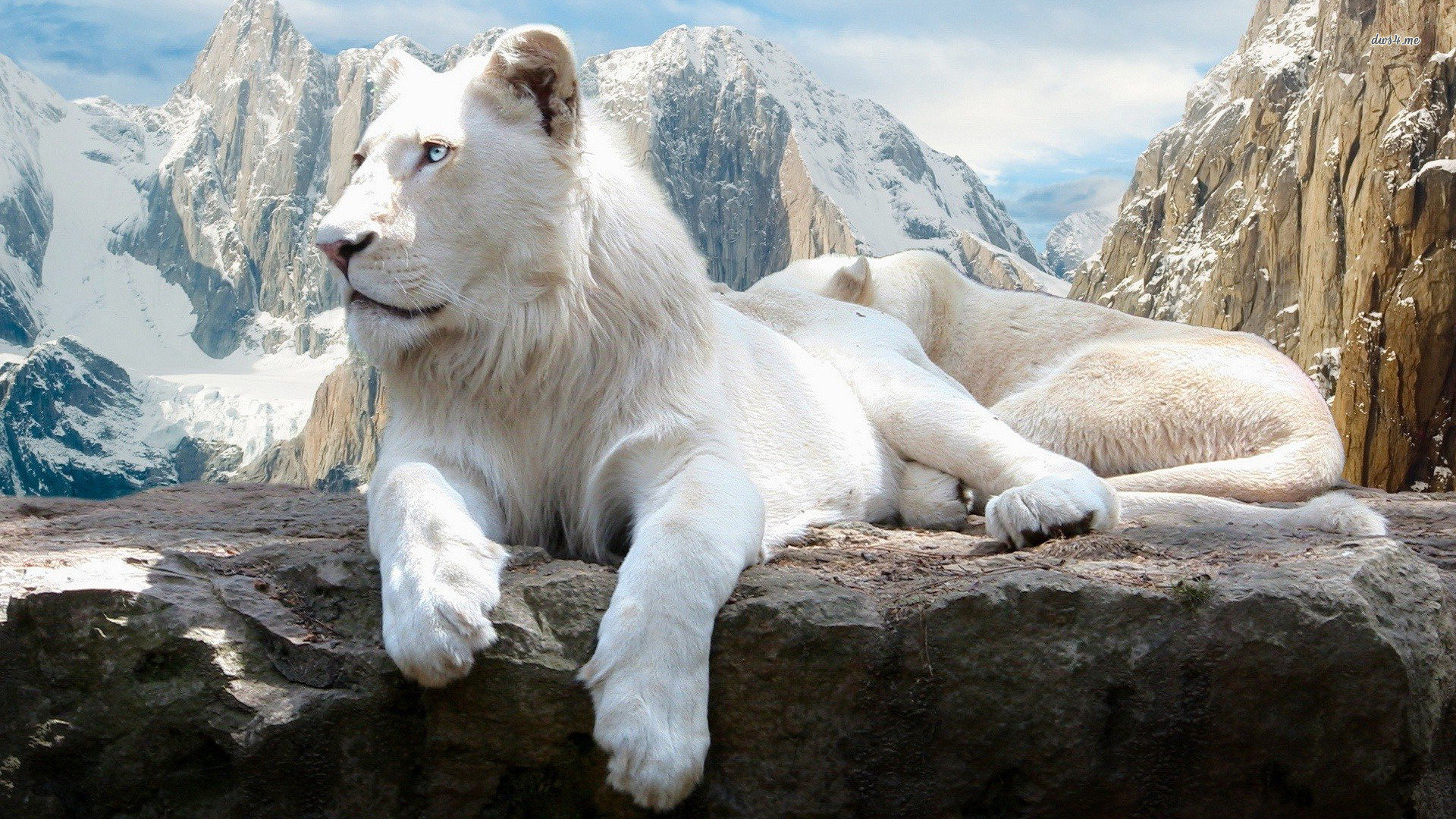 Awesome White Lion free wallpaper ID:237706 for hd 1920x1080 computer