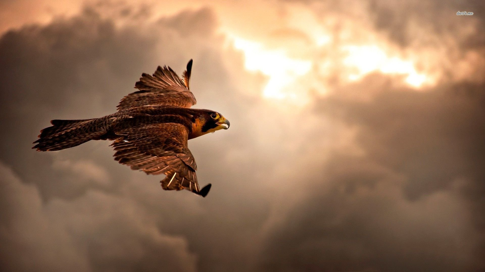 Awesome Hawk free background ID:122563 for hd 1080p PC