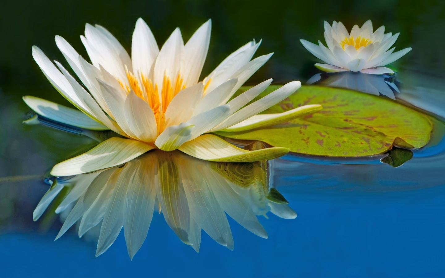 Download hd 1440x900 Water Lily computer background ID:366224 for free
