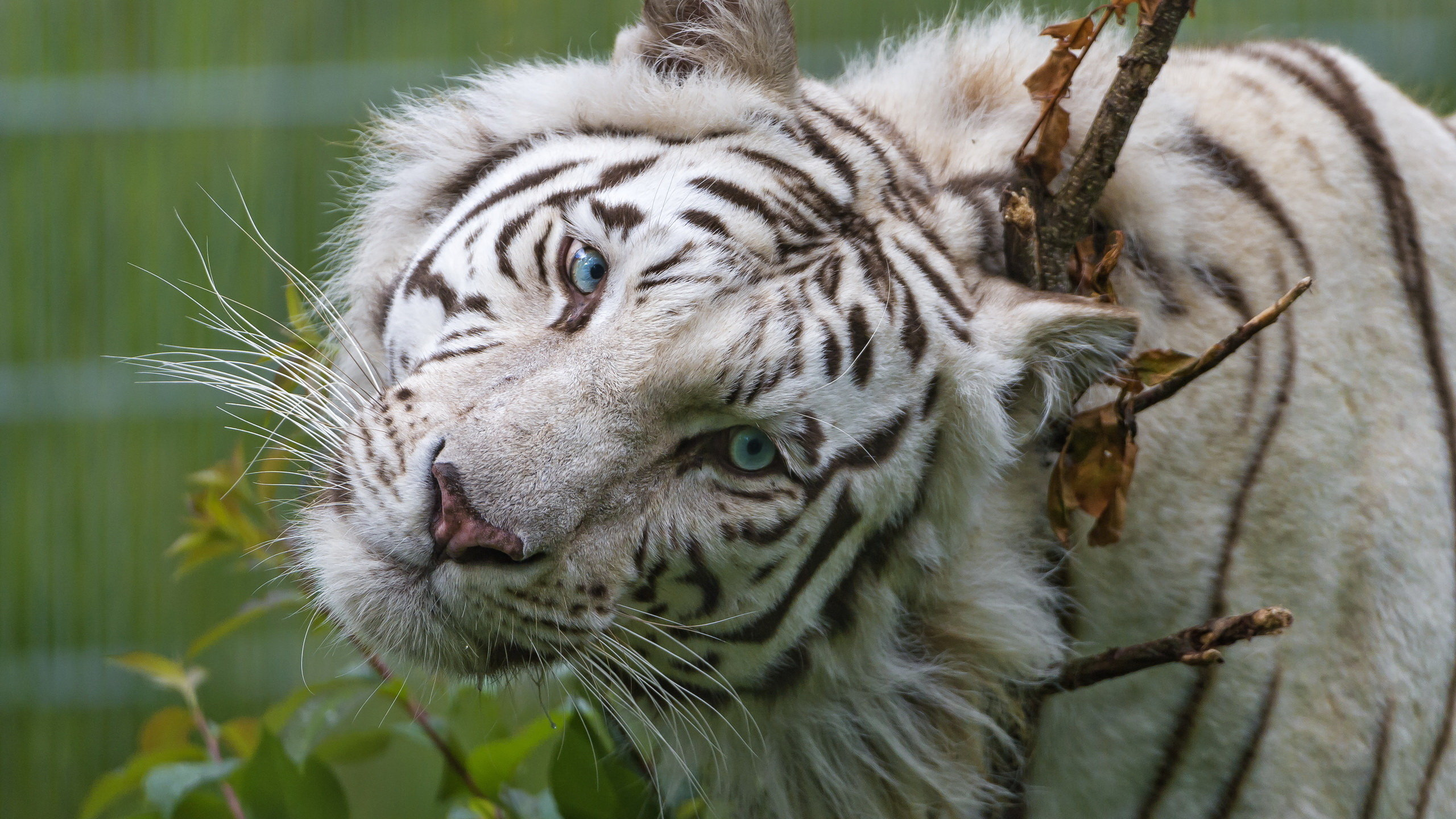 Best White Tiger wallpaper ID:174943 for High Resolution hd 2560x1440 desktop