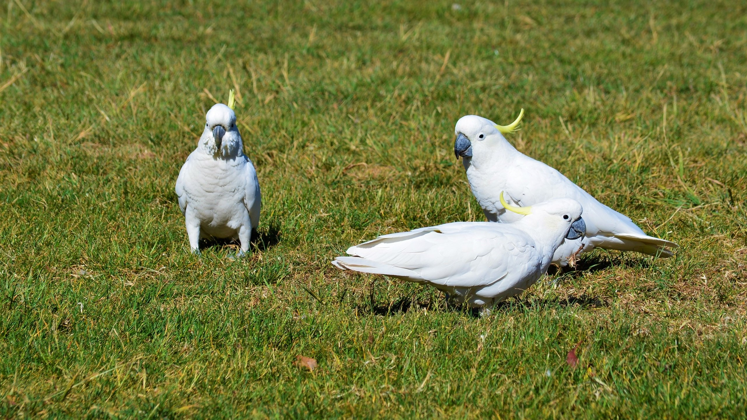 Download hd 2560x1440 Sulphur-crested Cockatoo desktop wallpaper ID:130234 for free