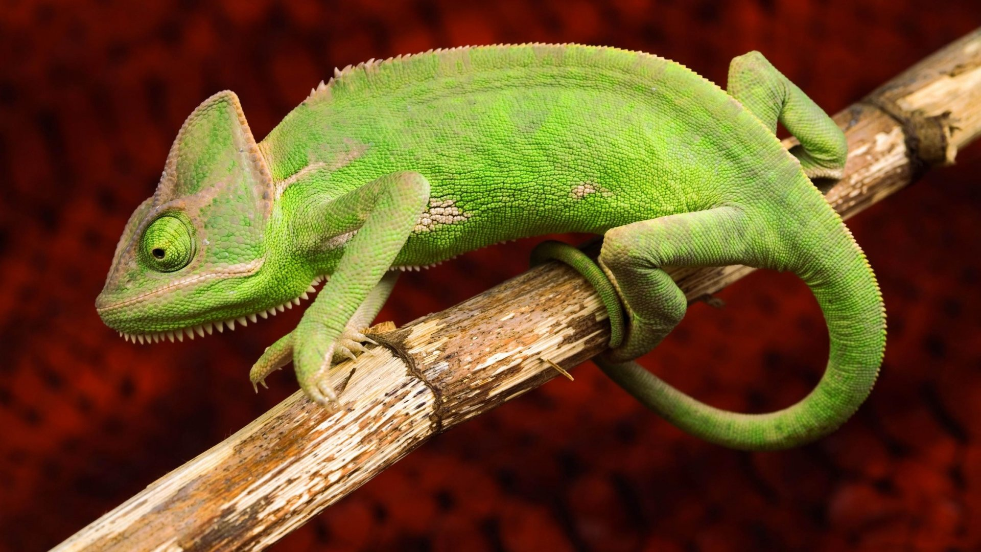 Free Chameleon high quality wallpaper ID:462572 for full hd 1920x1080 desktop