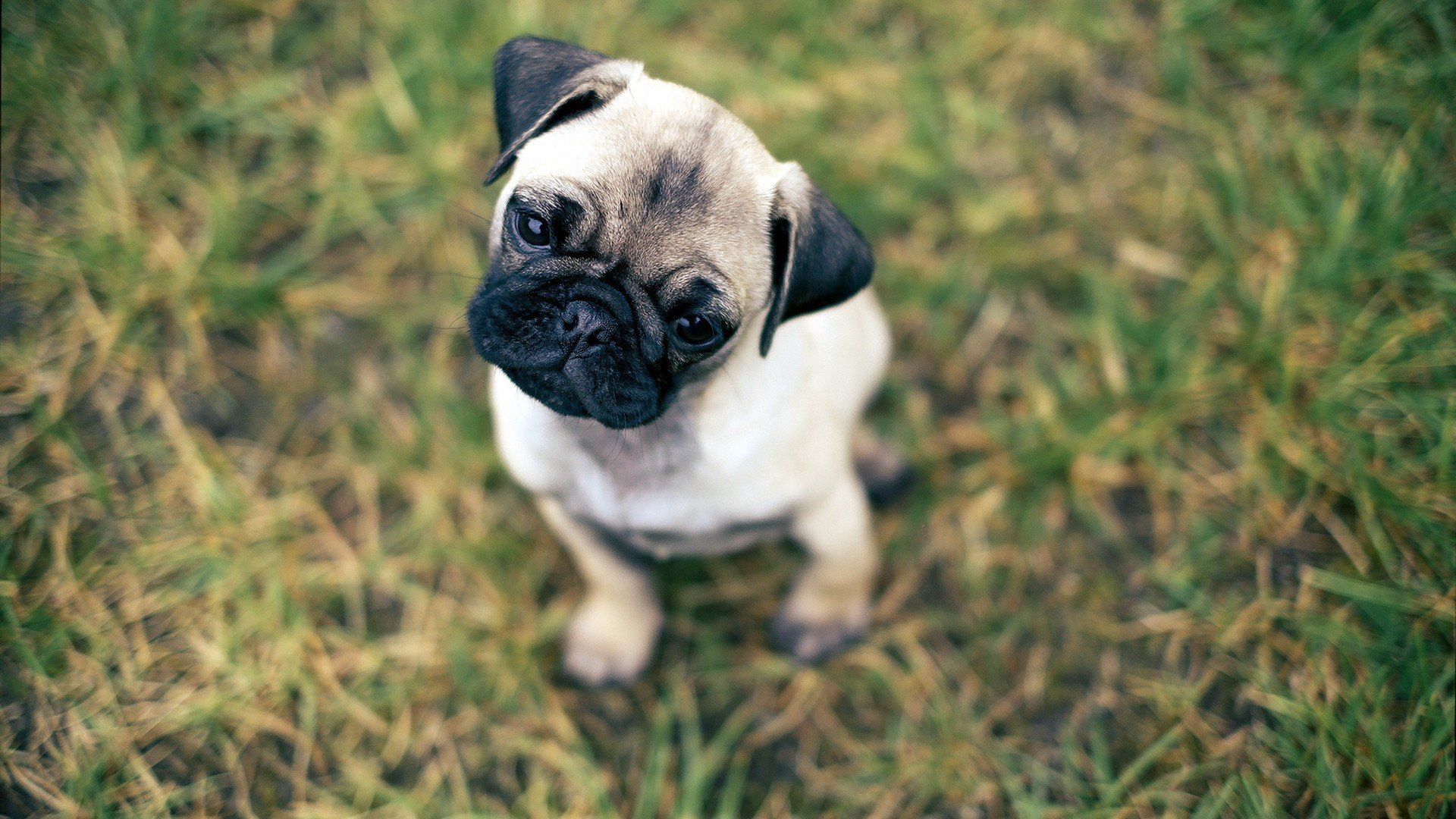 Best Pug wallpaper ID:282834 for High Resolution 1080p computer