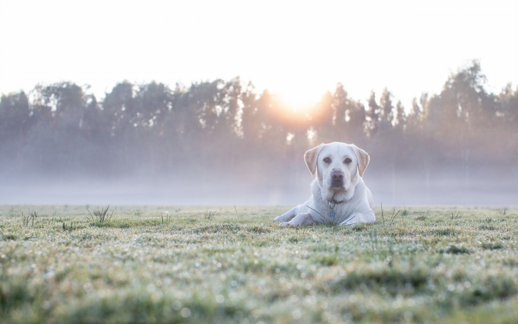 Best Labrador background ID:421650 for High Resolution hd 1680x1050 computer