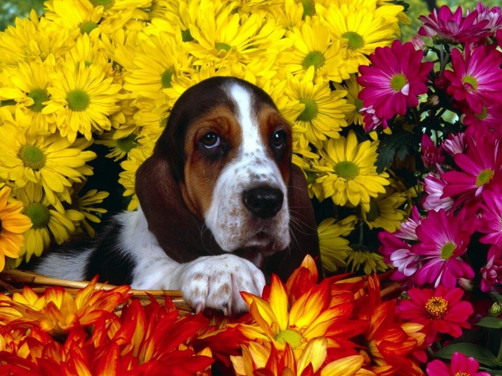 Free Basset Hound high quality wallpaper ID:214114 for hd 1024x768 computer