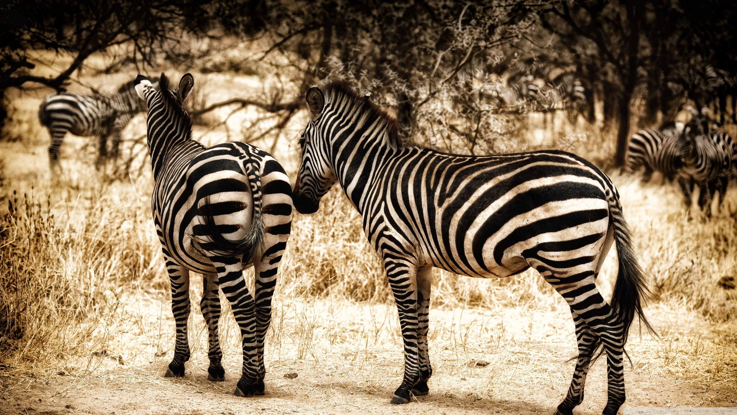 Download hd 2560x1440 Zebra PC background ID:73692 for free