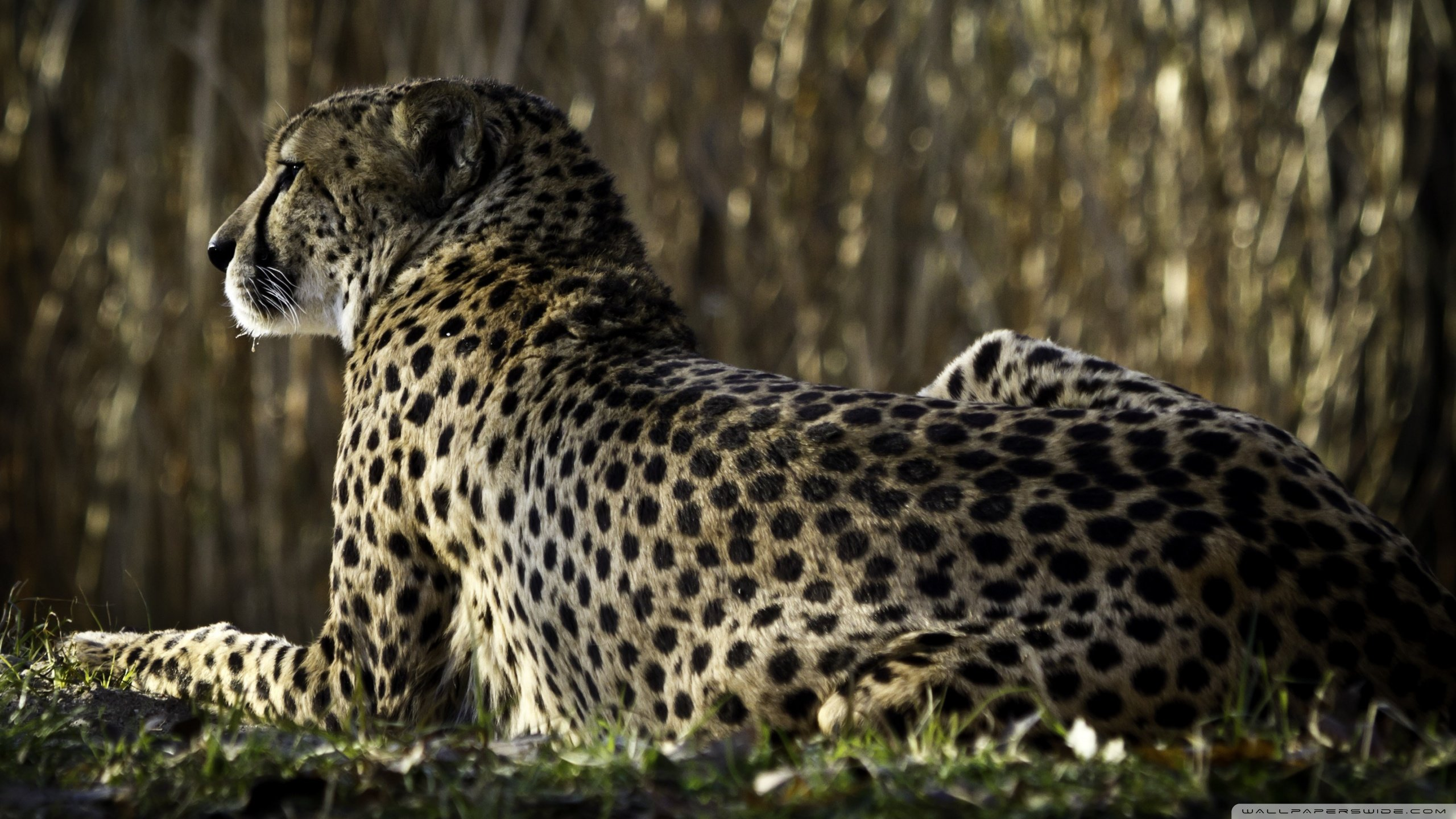 Best Cheetah wallpaper ID:161719 for High Resolution hd 2560x1440 desktop