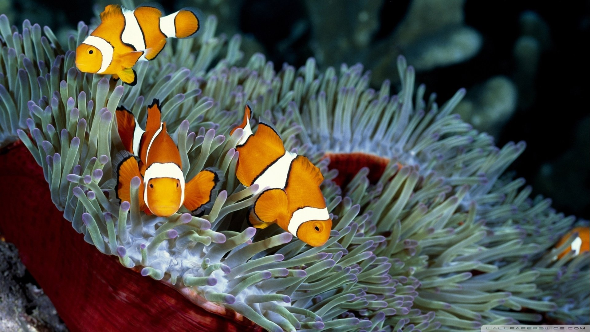 Best Clownfish wallpaper ID:53242 for High Resolution hd 1080p desktop