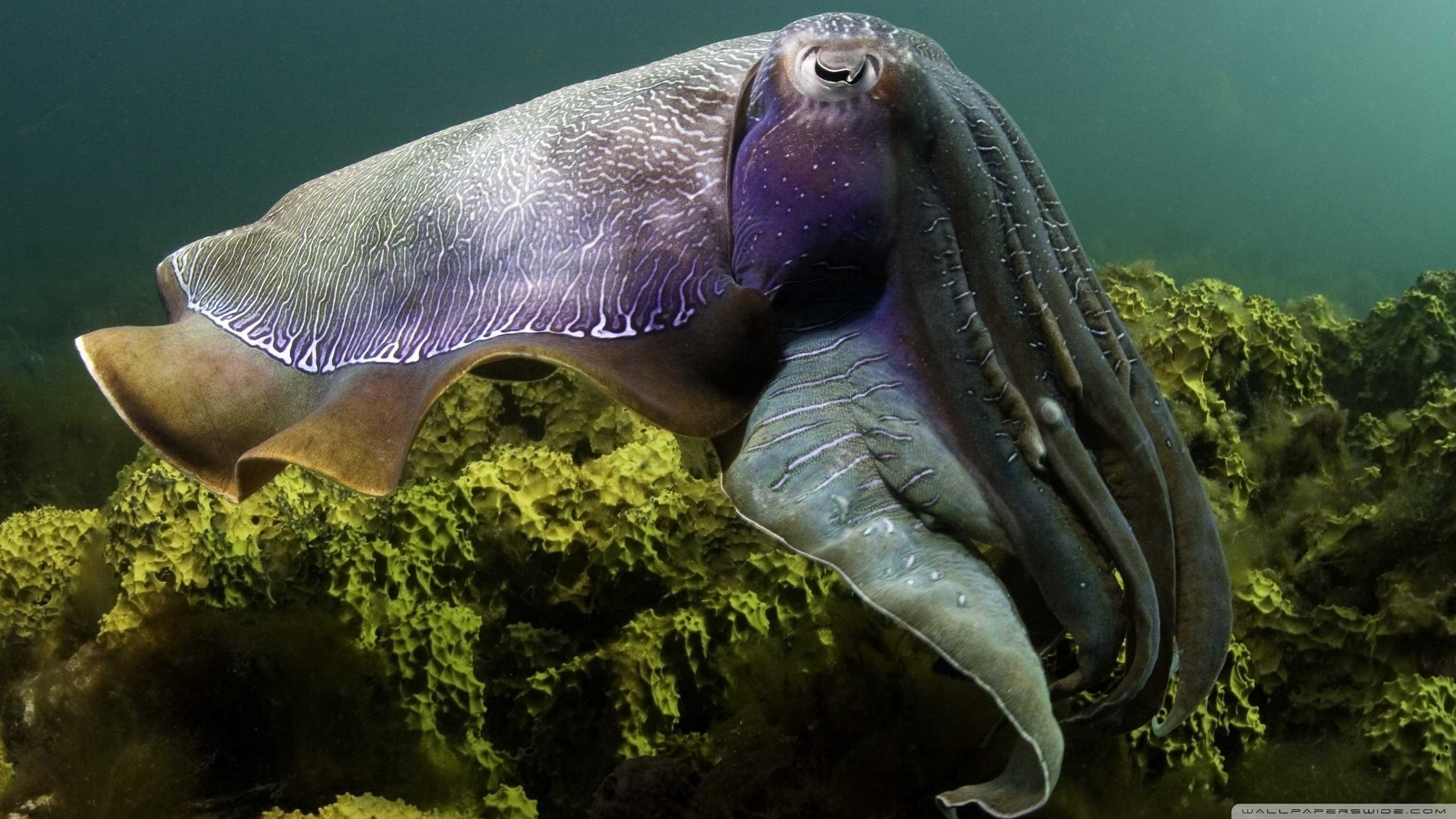 Best Cuttlefish wallpaper ID:239831 for High Resolution hd 2560x1440 computer
