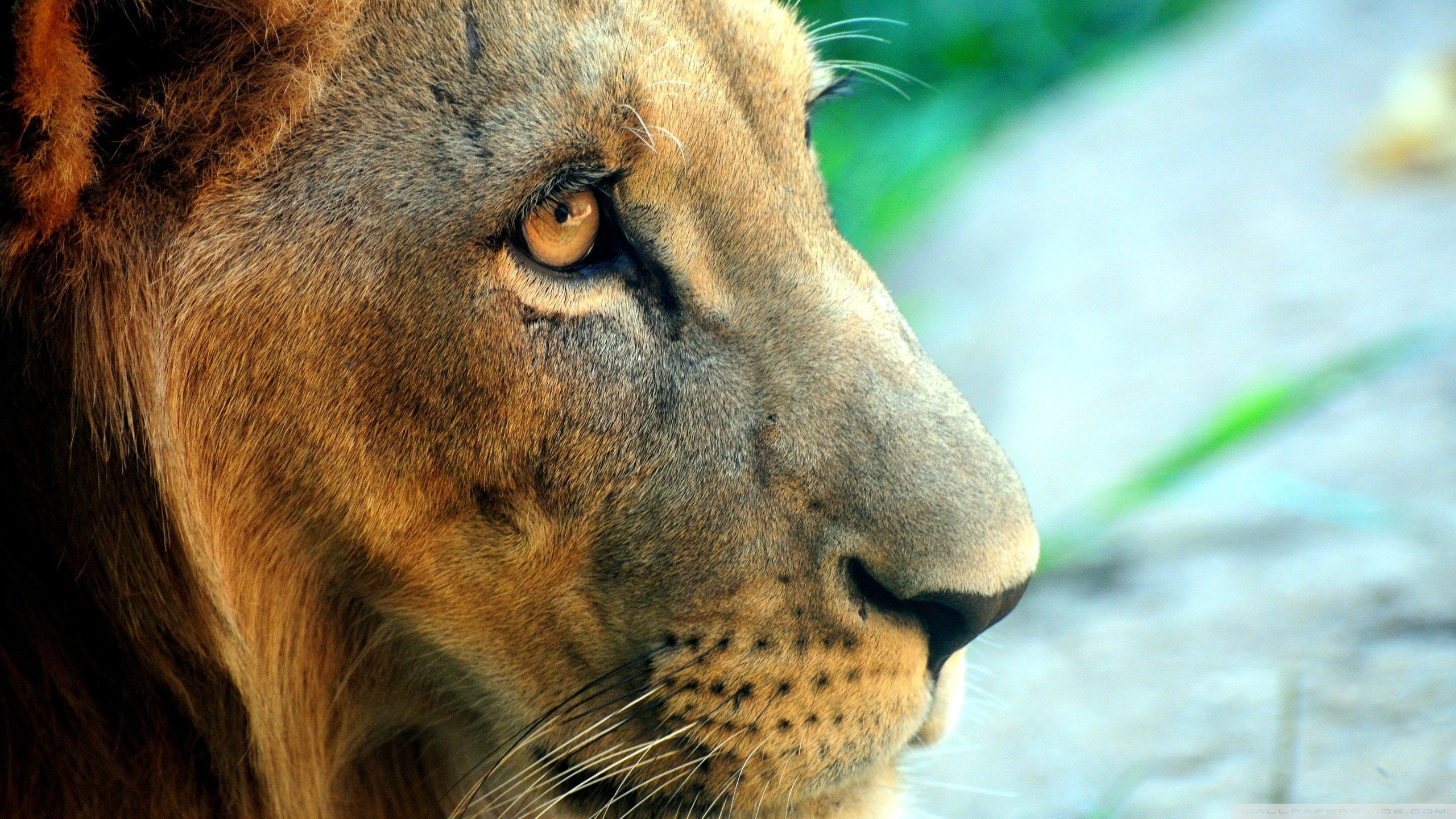 Best Lion wallpaper ID:255711 for High Resolution hd 2560x1440 PC