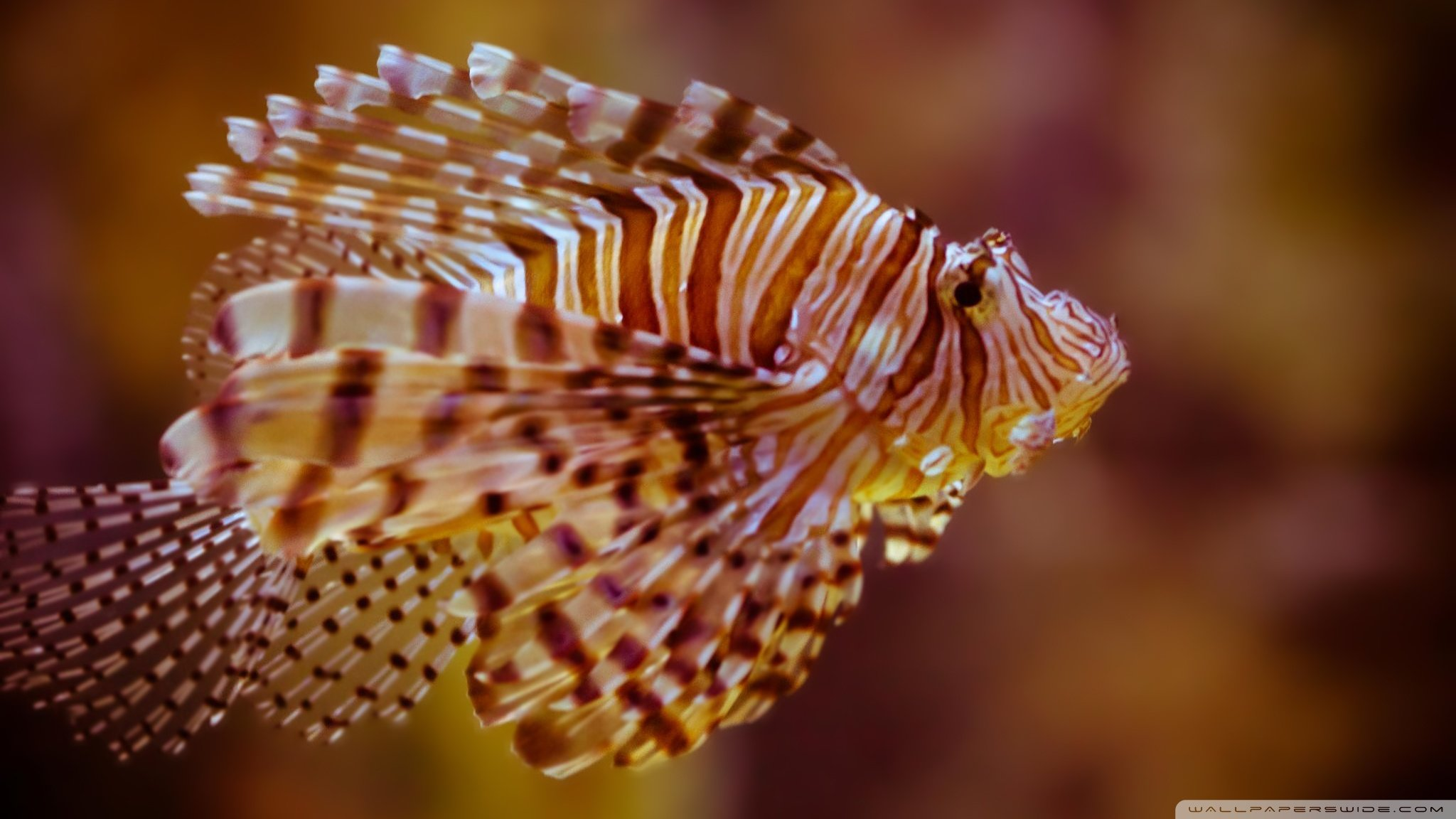 Awesome Lionfish free wallpaper ID:438234 for hd 2048x1152 computer