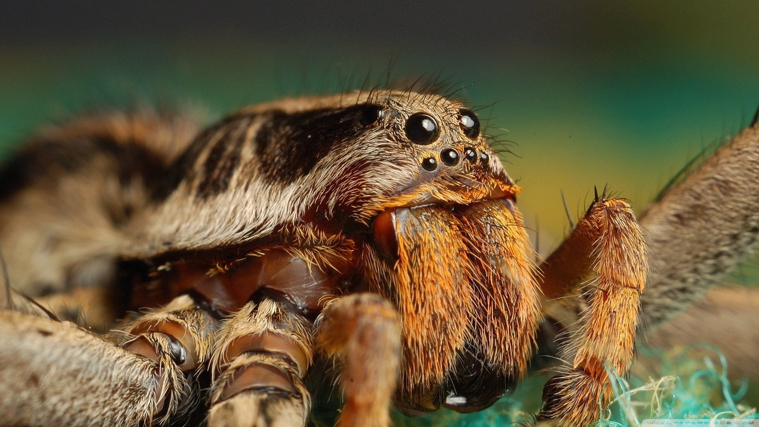 Best Tarantula wallpaper ID:409549 for High Resolution hd 2560x1440 desktop