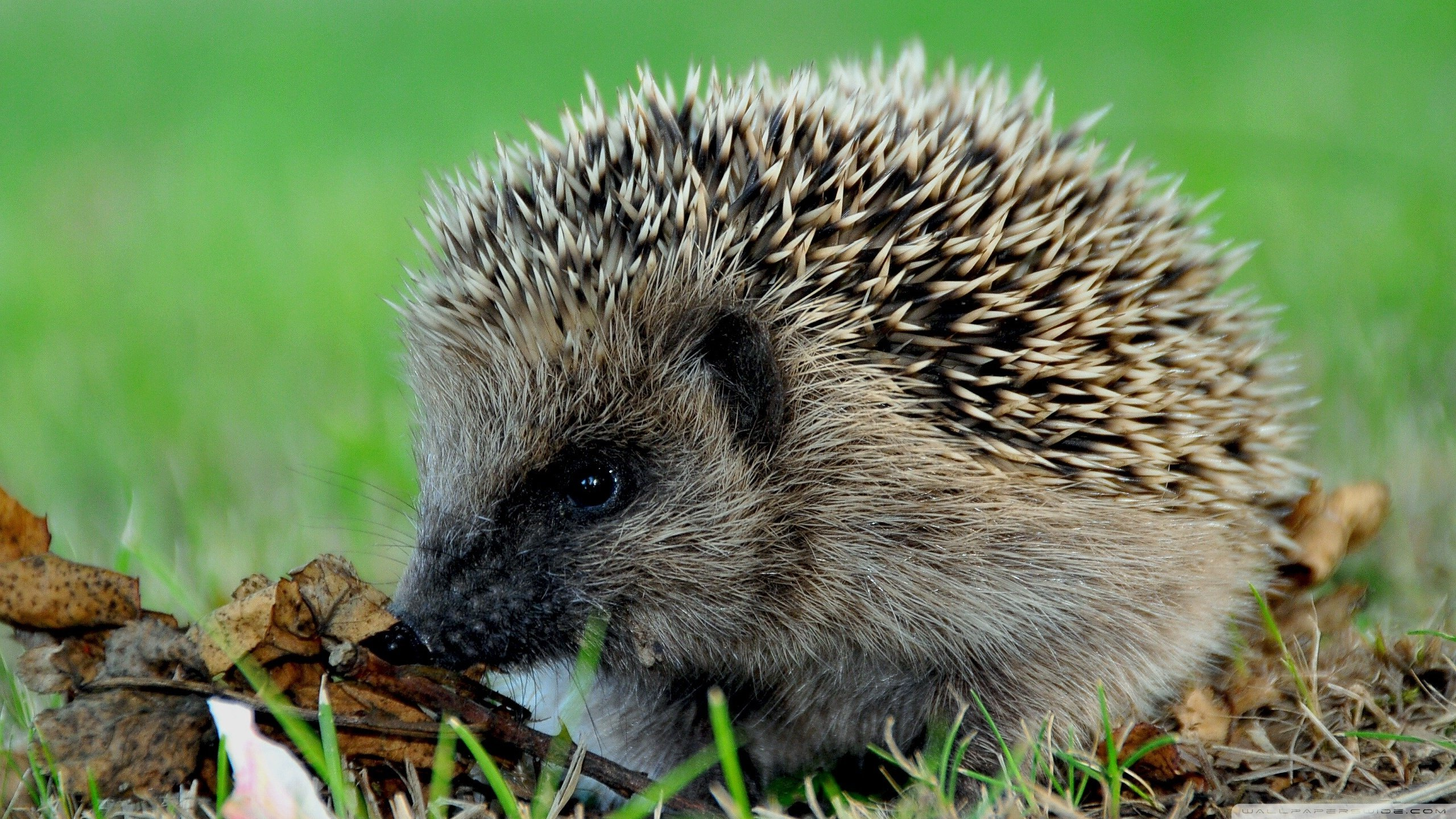 High resolution Hedgehog hd 2560x1440 background ID:241771 for PC