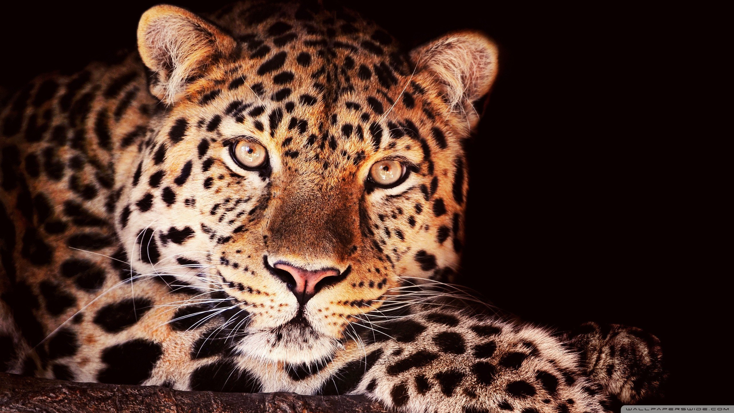 Best Leopard wallpaper ID:448300 for High Resolution hd 2560x1440 desktop