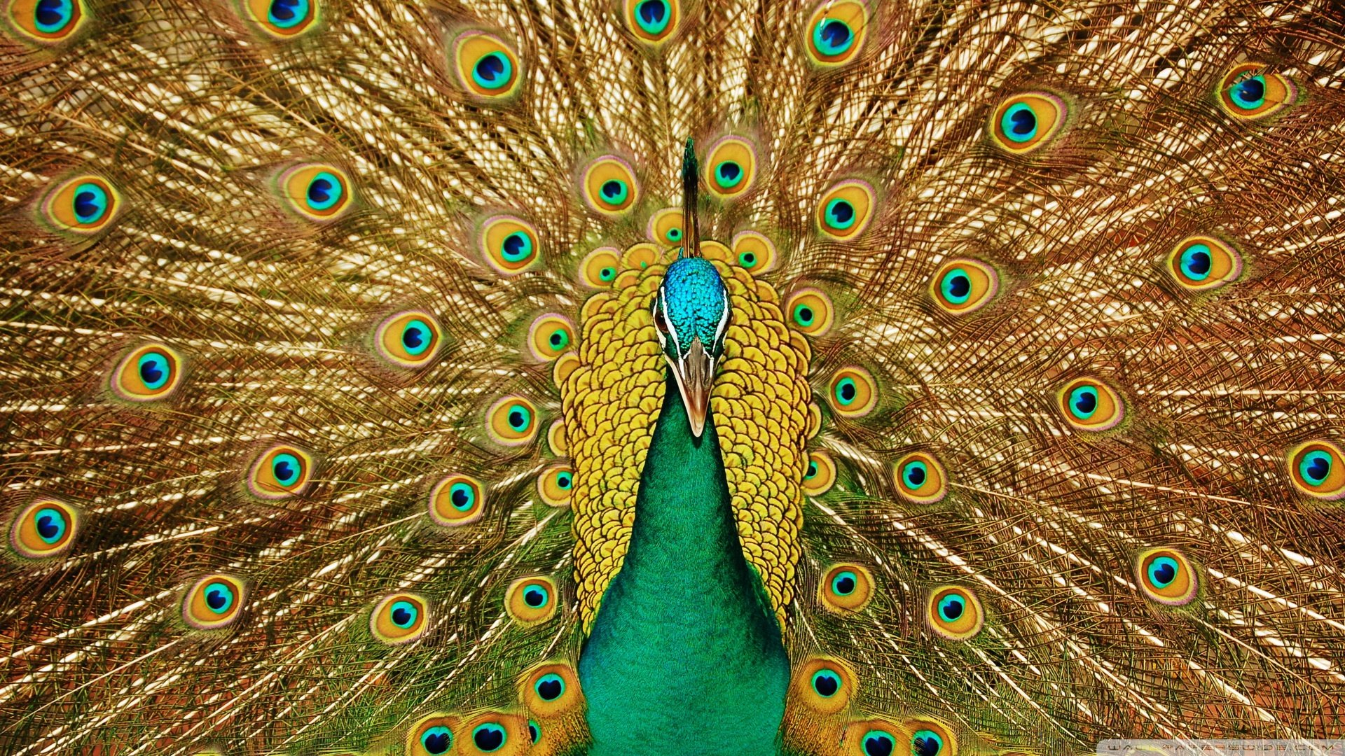 Free Peacock high quality background ID:151790 for 1080p PC