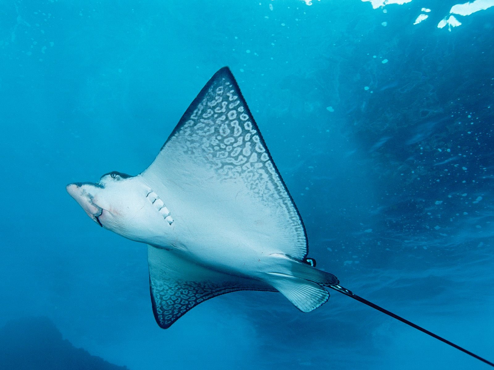 Free Stingray high quality background ID:339475 for hd 1600x1200 desktop