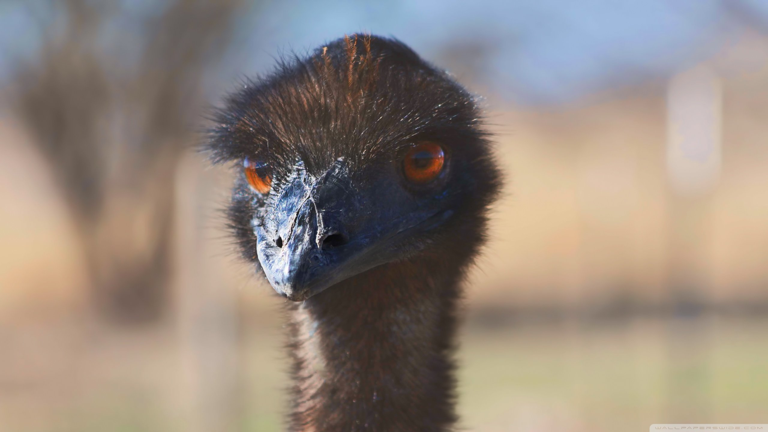 Free Emu high quality background ID:391635 for hd 2560x1440 computer