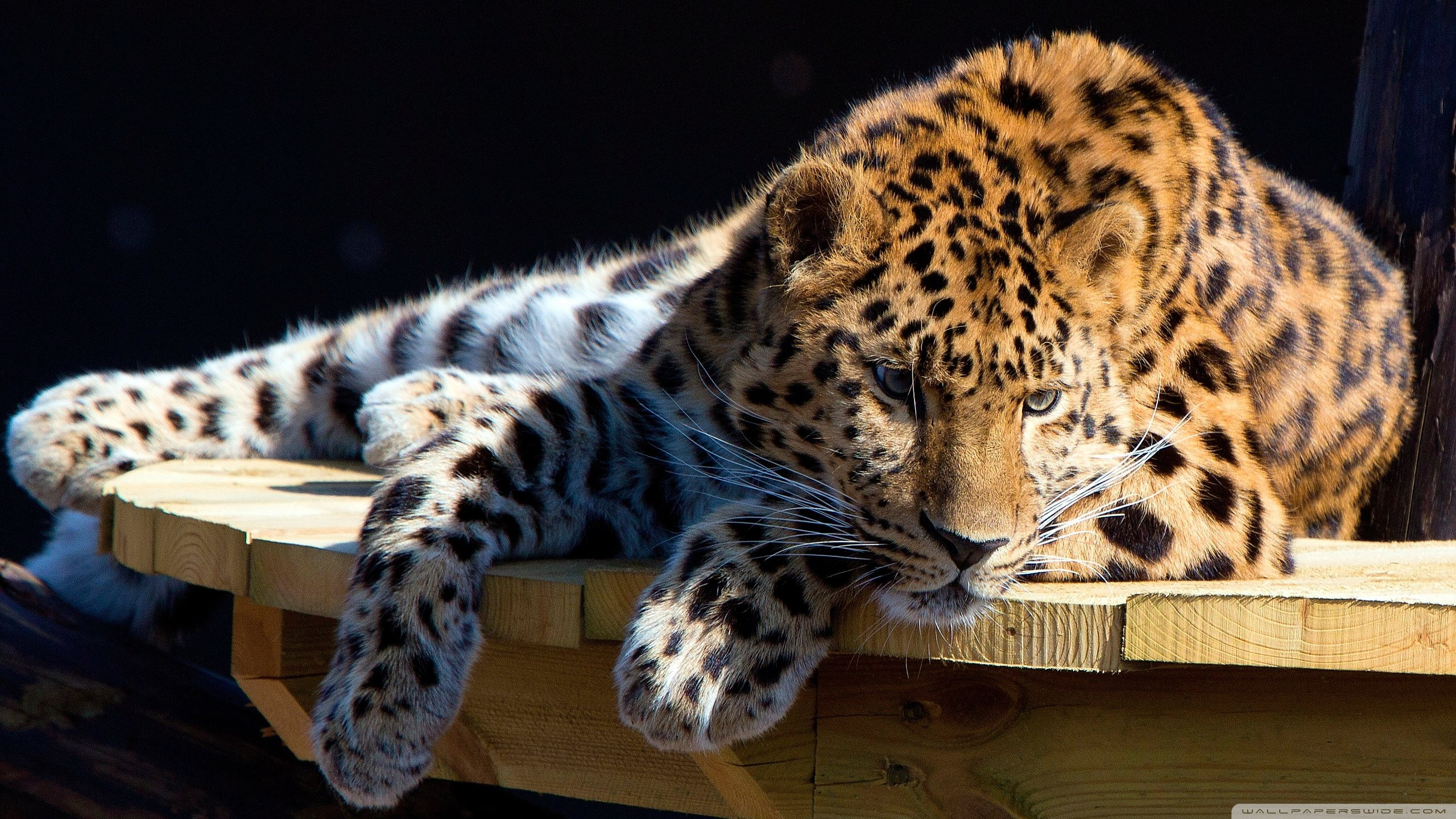 Awesome Leopard free background ID:448237 for hd 2560x1440 desktop